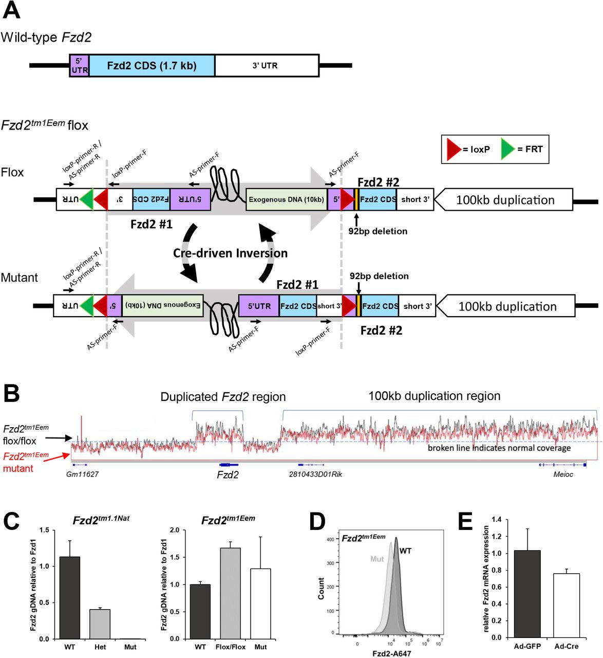 """The published Fzd2 tm1Eem flox allele is a complex genomic alteration. A. Maps detailing our working model of the Fzd2 tm1Eem flox allele. A wild-type Fzd2 gene structure is shown, with 5'UTR in purple, CDS in blue, and 3'UTR in white. The Fzd2 tm1Eem flox allele contains a duplication of Fzd2, resulting in two copies (blue). There is 10 kb of exogenous DNA (bacterial gDNA and targeting plasmid PL253 sequence, light green) in between the two copies of Fzd2. """"Fzd2 #1"""" contains the 3' loxP insertion but not 5' loxP . """"Fzd2 #2"""" contains 5' loxP insertion as well as a 92bp deletion (orange) downstream of the 5' loxP insertion site and immediately upstream of the Fzd2 start sequence. """"Fzd2 #2"""" has a shortened 3' UTR that is connected to an inverted 100 kb sequence downstream of the Fzd2 gene (refer to Supplemental Figure 1A for more details). The sequence between the two Fzd2 copies is of unknown length and denoted by a black curved lined (refer to Supplemental Figure 1B for more details). Because we cannot confirm the orientations of the two loxP sites within the two Fzd2 copies due to the long sequence between the two Fzd2 copies, we hypothesize cre-driven recombination results in continuous sequence inversion between the two loxP sites due to the opposite loxP orientations (refer to Discussion for more details). B . The IGV coverage tracks of Fzd2 tm1Eem flox/flox and homozygous global mutant WGS reads were merged to show no Fzd2 or other genomic DNA deletion after Cre exposure. C . Real-time quantitative PCR on genomic DNA shows a 50% decrease in Fzd2 gene content in Fzd2 tm1 . 1Nat heterozygotes and no Fzd2 gene content in homozygous mutants (primer targeting the N-terminal region). The Fzd2 tm1Eem display a ∼2-fold increase in Fzd2 gene content in flox/flox and ∼ homozygous mutant (Mut) samples, which supports Fzd2 being duplicated and loxP sites being in opposite orientations. D . FZD2 flow cytometric analysis of E14.5 limb buds from wild-type (WT) or mice homozyg"""