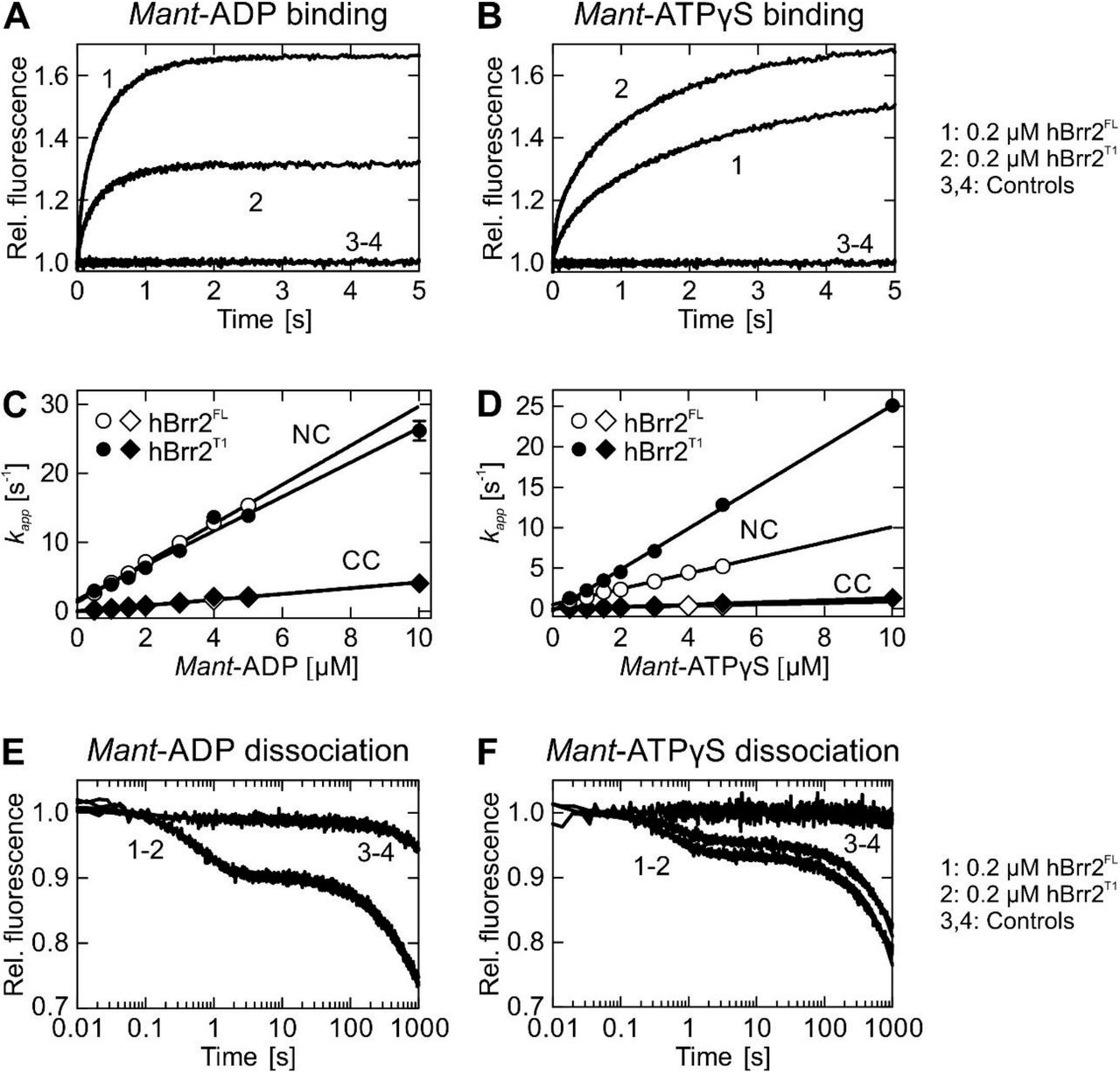 Kinetics of mant-ADP and mant -ATPγS interaction with hBrr2 FL and hBrr2 T1 . A and B . Time courses of 5 μM mant -ADP ( A ) or man t-ATPγS ( B ) binding to hBrr2 FL (1; 0.2 μM) and hBrr2 T1 (2; 0.2 μM) measured by FRET from Trp to mant . Controls were performed with unlabeled ADP or ATPγS (3-4). C and D . Individual nucleotide binding traces were fitted to double exponential equations, and the dependence of the apparent rate constants of the NC (circles) and CC (diamonds) on nucleotide concentration were fitted by a linear equation. Open symbols, hBrr2 FL ; closed symbols, hBrr2 T1 . The cassettes of hBrr2 FL and hBrr2 T1 bind nucleotides with different velocities as observed for the variants containing either one of the cassettes, hBrr2 NC and hBrr2 CC . While the CC binds mant -ADP and mant -ATPγS with similar rates, the NC in hBrr2 T1 binds mant -ATPγS faster than the NC in hBrr2 FL . Values represent means ± SD of at least three independent measurements. E and F . Dissociation of 5 μM mant-ADP ( E ) or mant -ATPγS ( F ) from hBrr2 FL (1; 0.2 μM) and hBrr2 T1 (2; 0.2 μM) in the presence of the respective unlabeled nucleotide in excess (100 μM). Control experiments (3-4) were carried out in the absence of unlabeled nucleotide.