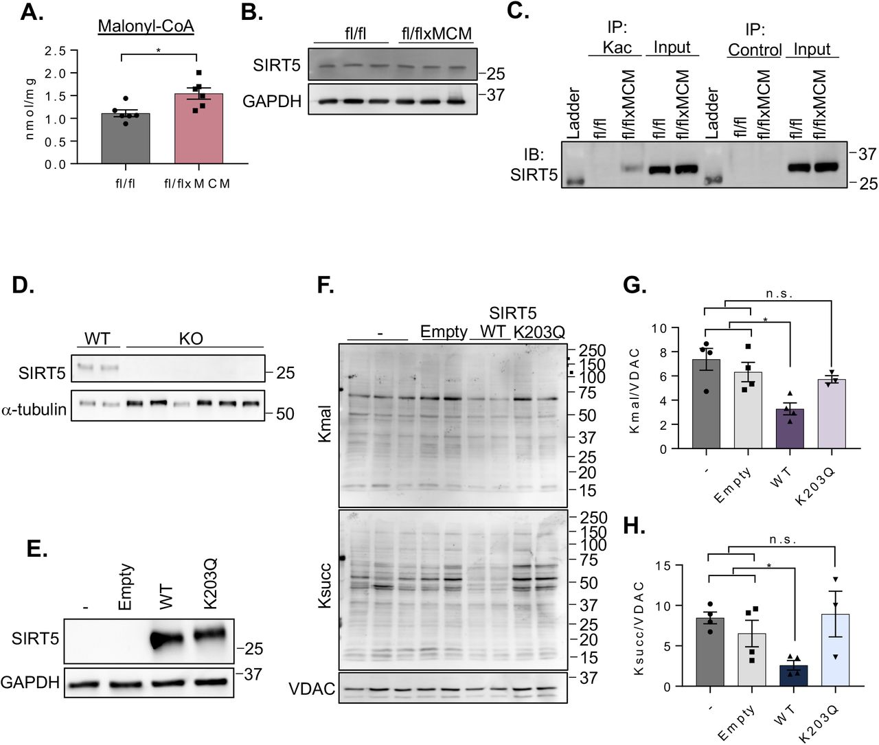 Acetylation of SIRT5 modulates malonylation status of mitochondrial proteins. (A) Cardiac malonyl-CoA levels in Slc25a3 fl/fl versus Slc25a3 fl/flxMCM mice at 10 weeks post-tamoxifen administration. (B) Western blot analysis of SIRT5 expression in total heart protein lysates from Slc25a3 fl/fl versus Slc25a3 fl/flxMCM animals. GAPDH was used as a loading control. (C) Immunoprecipitation confirmation of enhanced SIRT5 acetylation in Slc25a3 fl/flxMCM versus Slc25a3 fl/fl hearts. Acetylated proteins were immunoprecipated with anti-Kac antibodies followed by immunoblotting with an antibody against SIRT5. An anti-HA antibody was used as an immunoprecipitation control. (D) Western blot analysis of SIRT5 expression in HEK293 WT versus SIRT5 KO clones. α-tubulin was used as a protein loading control. (E) Western blot analysis of SIRT5 expression in SIRT5 KO cells re-expressing a pcDNA3.1 empty vector, WT SIRT5 or, the SIRT5 K203Q mutant. GAPDH was used as a loading control. (F) Representative western blot of protein lysine malonylation (Kmal) and succinylation (Ksuc) of mitochondria isolated from SIRT5 KO cells, or SIRT5 KO cells re-expressing the empty vector, WT SIRT5, or SIRT5 K203Q. VDAC was used as a loading control. (G) Quantification of protein malonylation in SIRT5 KO cells re-expressing the WT and K203Q SIRT5 constructs. (H) Quantification of protein succinylation in SIRT5 KO cells re-expressing the WT and K203Q SIRT5 constructs. One way ANOVA followed by Welch's test was used for statistical analysis with P