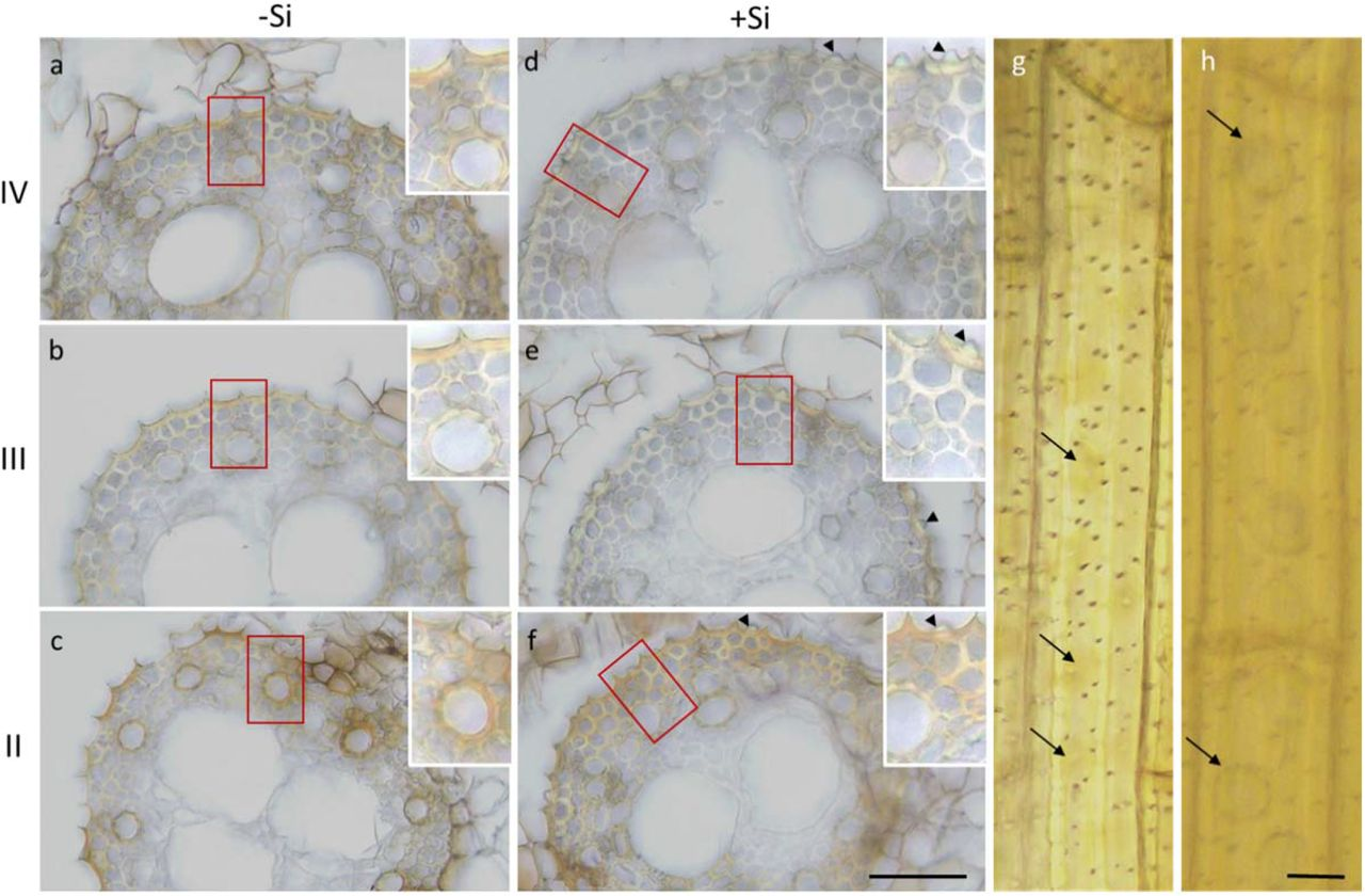 Primary roots of sorghum seedlings stained with <t>3,3'-diaminobenzidine</t> <t>(DAB).</t> Cross sections taken from a Si− (a-c) and a Si+ root (d-f) represent regions IV, III, and II of silica aggregation along the root, as defined in Figure 1 . Insets are enlargements of the red rectangles in each of the panels. Brown discoloration attributed to the precipitation of DAB can be seen in the endodermal ITCW and the cell walls of xylem elements in all three regions. The staining is more intense in region II of both treatments. This is the region of Si aggregation onset. Arrowheads indicate some silica aggregates. (g) A longitudinal view of DAB stained ITCW from a Si− root. Slightly stronger tainted spots (arrows) can be seen on the background of the stained cell wall. Pits are seen as dark dots. (h) A similar longitudinal view of a Si+ ITCW. The outlines of Si aggregates are evident in darker stain (arrows) on the uniformly stained ITCW. Scale bar in f, common to a-f represents 50 μm. Scale bar in h, common to g and h represents 5 μm.