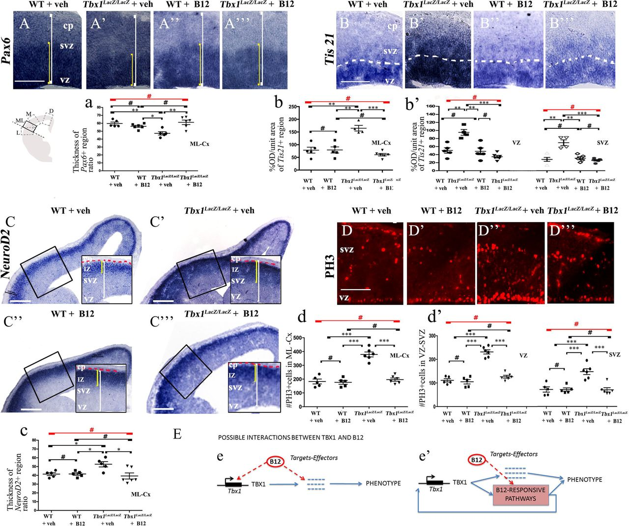 """Vitamin B12 treatment restores normal expression of cortical markers in Tbx1 heterozygous embryos. Panels show coronal sections of embryonic brains at E13.5. (A, a) Immunostaining for TBR1 (A–A′′') revealed the precocious presence of terminally differentiated neurons in the SVZ of Tbx1 lacZ /+ embryos (A'). White brackets define the regions containing TBR1-positive cells in A, A'. Quantitative analysis confirmed the altered distribution and frequency of mature cortical neurons in the ML-cortex, of Tbx1 lacZ /+ embryos, including the SVZ and CP (a), which was rescued by B12 treatment (A""""', a). (B, b) Immunostaining for phospho-histone 3 (PH3) revealed increased mitotic activity in the proliferative zones (VZ, SVZ) of the ML-cortex of vehicle-treated Tbx1 lacZ /+ embryos (B', b, b') compared to vehicle-treated WT embryos (B, b), which was rescued by B12 treatment (B""""', b, b'). (C, c) Immunostaining for KI67. White asterisks identify KI67-negative regions. Quantitative analysis (c) revealed the reduced thickness of the KI67-expressing region (yellow brackets) relative to the total ventricular-to-pial thickness (white brackets) in vehicle-treated Tbx1 lacZ /+ embryos (C', c) compared to vehicle-treated WT embryos (C), which was rescued by B12 treatment (C""""', c). The cartoon (c') indicates the position of the ML-cortex in coronal sections, where all measurements were made. Scale bars, 100 μm. *P ≤ 0.05, **P ≤ 0.01, ***P ≤ 0.001, error bars indicate ±SEM, n = 5–6 per genotype. Abbreviations: VZ, ventricular zone; SVZ, subventricular zone; CP, cortical plate; ML-Cx, medio-lateral cortex; D, dorsal; M, medial; ML, medio-lateral; L, lateral; OD, optical density."""