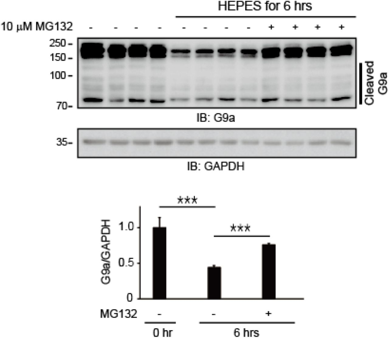 Endogenous G9a undergoes degradation via the UPS during autophagy. Autophagy induction by serum starvation (HEPES) diminished the endogenous G9a protein level in Hela cells. In the presence of MG132, a proteasome inhibitor, endogenous G9a degradation was significantly reduced under starvation in HEPES medium, indicating that G9a degradation was facilitated by the UPS (mean ± SEM of n = 4 replicates; ***p