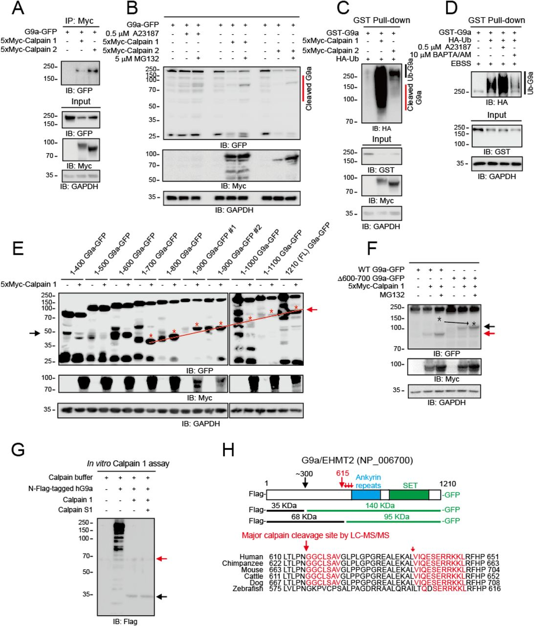 Calpains cleave G9a protein for ubiquitin-mediated degradation. a, Immunoprecipitation (IP) assays show that G9a bound to calpain 1 and 2. 293T cells were co-transfected with 5xMyc-calpain and G9a-GFP plasmids, and samples were prepared as described in the STAR Methods. To prevent G9a cleavage by calpains, the calpain inhibitor calpeptin (10 μM), protease inhibitors, and EGTA (1 mM) were added. b, G9a was cleaved by elevated Ca 2+ influx (A23187) and the expression of calpains in 293T cells. The accumulation of cleaved G9a fragments by MG132 indicates that the cleaved G9a was degraded by the UPS. c, Expression of calpain 1 or calpain 2 promoted G9a ubiquitination in 293T cells. 293T cells were co-transfected with the indicated constructs. d, Elevated Ca 2+ influx by A23187 promoted G9a ubiquitination, whereas Ca 2+ chelation by BAPTA/AM reduced G9a ubiquitination under starvation in EBSS medium. GST pull-down assays were performed to monitor the ubiquitination level of G9a-GST after 12 hours of EBSS starvation. e, Calpain cleavage sites in G9a are located between aa 600 and aa 700. f, The Δ600–700 G9a-GFP mutant lacking the calpain cleavage sites was more resistant than WT G9a-GFP to calpain 1, as indicated by the lack of cleavage products (red arrow) and a higher level of intact G9a protein. The cleavage products of the Δ600–700 G9a (black arrow) suggest the presence of an additional calpain cleavage site at the N-terminus of G9a. g, An in vitro calpain cleavage assay confirmed that G9a has two cleavage sites. The main site is between aa 600 and aa 700. An additional N-terminal cleavage site is near aa 300. Recombinant Flag-tagged hG9a, calpain 1, and calpain S1 (a calpain 1 co-activator) were incubated for 10 min at 37°C, and the reaction products were subjected to Western blot analysis. h, A schematic diagram of the G9a cleavage sites and fragments in Fig. 2f , g and Supplementary Fig. 5 . The calpain cleavage sequences in G9a are highly conserved across vertebra