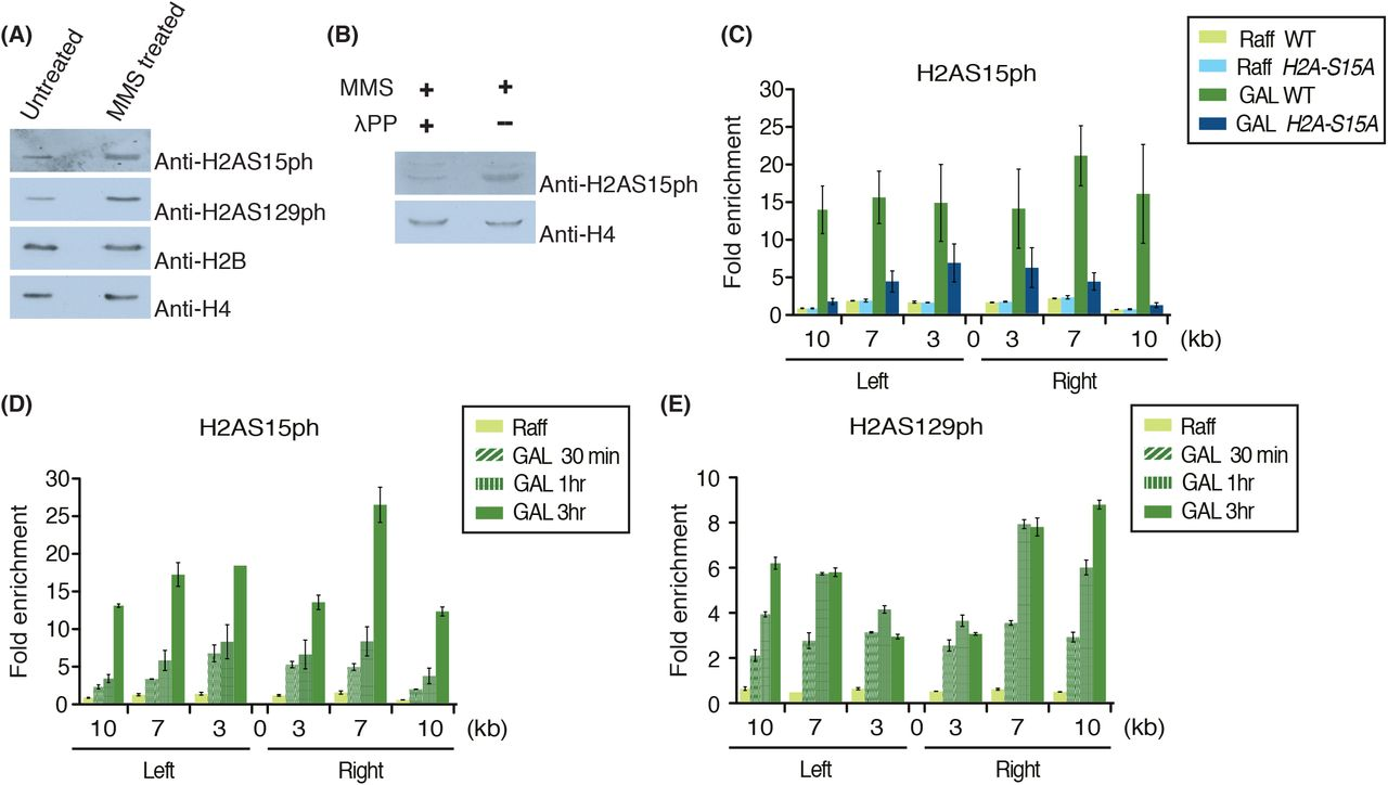 H2AS15ph is locally induced upon DNA double strand break formation and spread over several kilobases. (A) H2A-S15ph signal increased when yeast cells are treated with DNA damaging agent, MMS. Western blot analysis was performed with 300ng of native chromatin purified from yeast cells treated with DMSO (untreated control) and MMS. Anti-H2AS129ph was used as positive control for the MMS treatment. Antibodies against histone H2B and H4 were used as loading control. (B) Anti-H2AS15ph is specific for recognizing a phosphorylation mark on H2A. Western blot analysis was performed with 300ng of native chromatin purified form MMS treated yeast cells after incubation with or without lambda protein phosphatase (λPP). Lane with λPP treatment showed a significant decrease in signal for H2A-S15ph. Histone H4 was used as loading control. (C) H2AS15ph spreads on both sides of the HO endonuclease induced single DSB at MAT locus. Signal for H2AS15ph showed enrichment after the induction of the DSB in wild type but not in H2A-S15A . ChIP-qPCR was performed as described in Figure 1D . Fold enrichment was calculated as ratio of %IP/ input normalized on total H4 for histone occupancy at indicated loci around DSB at MAT locus to the signal at negative-control locus intergenicV. (D, E) Kinetics of H2S15ph and H2AS129ph accumulation after the induction of the HO-DSB. ChIP samples were analyzed after times 0, 30min, 1hr and 3hrs. Anti-H4 signal was used to normalize for histone occupancy. ChIP-qPCR was performed as described in Figure 1D .