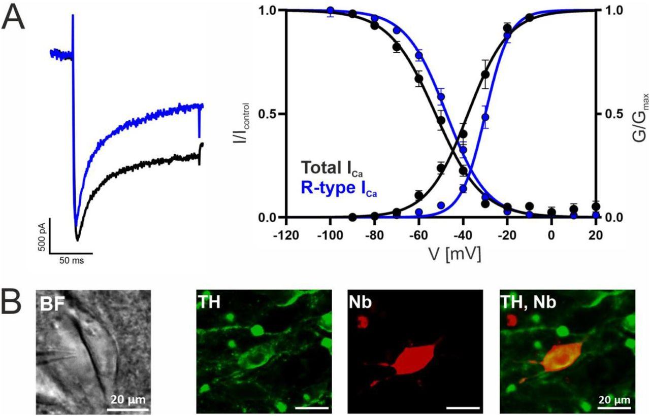 Voltage-dependence of gating of R-type currents in mouse SN DA neurons. I Ca recorded in SN DA neurons without (black traces/symbols) or after preincubation (blue) of slices with a Cav channel blocker cocktail to inhibit Cav3 (10 µM Z941), Cav1 (1 µM isradipine), Cav2.1 and Cav2.2 (1 µM ω-conotoxin-MVIIC). A . Left panel: representative current traces of recordings of steady-state activation (at −20 mV test potential, similar amplitudes were chosen). Right panel: voltage-dependence of steady-state activation and inactivation, curve fits to the mean values are shown. B . Exemplary neuron as seen under the patch clamp microscope with patch pipette next to it (left; BF, brightfield) and a neuron after histochemical staining for tyrosine hydroxylase (TH, green) and <t>neurobiotin</t> (Nb, red). Detailed parameters and statistics are given in Table 3 .