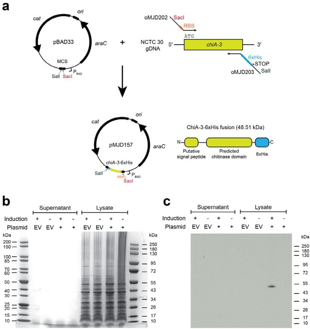 Molecular cloning of chiA-3 and expression of ChiA-3-6xHis. (a): Schematic of cloning strategy used to amplify and insert chiA-3 directionally into the pBAD33 multiple cloning site (MCS), under the arabinose-inducible P BAD promoter, and to incorporate a C-terminal 6xHis tag as a translational fusion. A linker sequence was not incorporated between the C-terminus of ChiA-3 and the 6xHis tag. Figures are not to scale. (b): InstantBlue-stained acrylamide gel of proteins present in supernatants and cell pellet lysates from cultures grown at 23 °C supplemented with arabinose (induction +) or glucose (induction -). No induced bands were easily discerned. (c): Western immunoblot produced from an identically-loaded acrylamide gel to that presented in (b), run in parallel with the gel in (b), and probed with an α-6xHis antibody (see Methods). A band corresponding to the expected molecular weight of ChiA-3-6xHis (48.51 kDa) was detected in the cell pellet lysate of E. coli harbouring pMJD157 only (plasmid +). This size is consistent with the retention of the fusion protein without the cleavage of the putative signal sequence. Protein ladders: NEB #P7719S and #P7717S. EV = empty vector (pBAD33).
