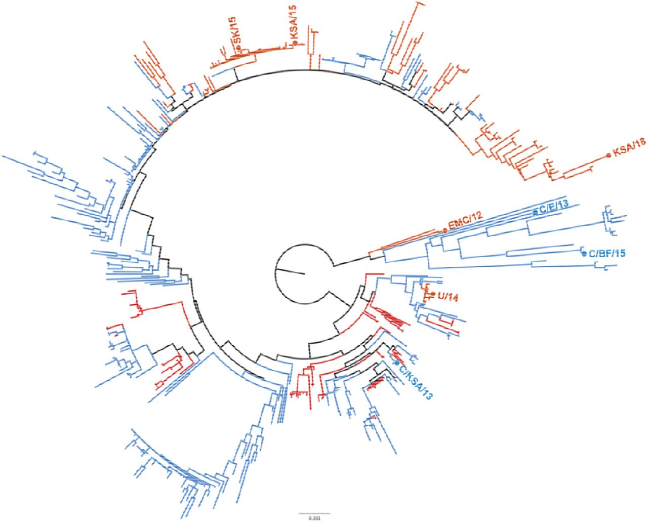Phylogenetic tree of MERS-CoV strains. Maximum likelihood tree of 446 full MERS CoV genomes showing distribution of isolates used in this study. Human-derived MERS-CoV isolates used in this study are highlighted in red, camel-derived MERS-CoV isolates are highlighted in blue. Phylogenetic tree reconstructed with PhyML and rooted at the midpoint.