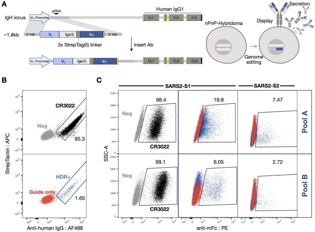 Mammalian display enables antibody screening of selected clonal lineages. (A) HDR templates are synthesized and transfected into PnP-hybridoma cell lines through CRISPR-Cas9 into the endogenous V H locus. (B) After sorting by flow-cytometry for successful integration with Strep-Tactin and anti-human IgG, (C) enriched hybridoma pools (Pool A and B) are sorted for binding to SARS-CoV-2 S1 or S2.