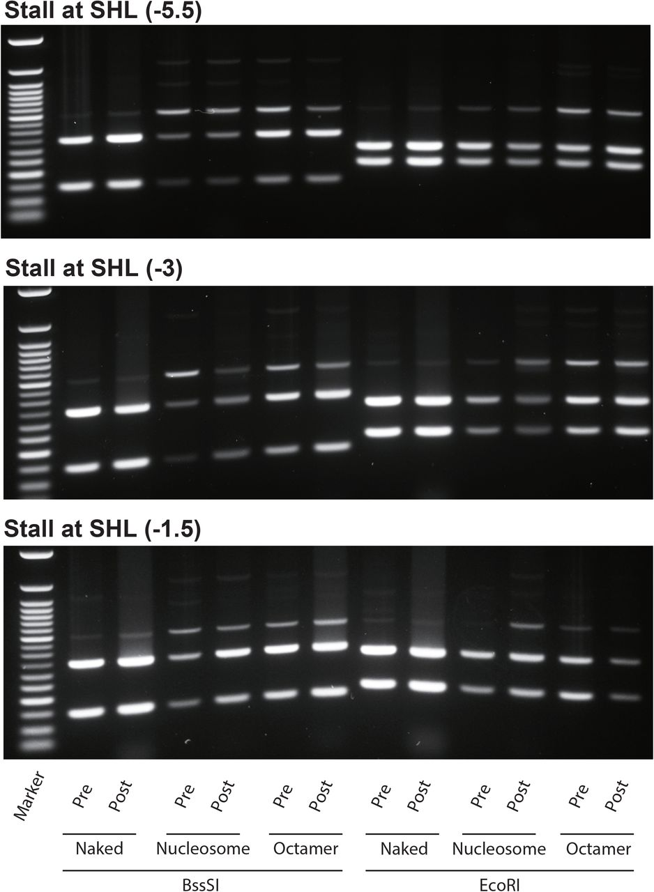 The images of 1% agarose gel on which the digested products run. The DNA substrates were digested by BssSI and EcoRI at the pre-and post-transcription stages. Depending on the substrates, the RNAP stalled at −54 bps (top), −29 bps (middle), and −14 bps (bottom), respectively. The assay was repeated using naked DNA (Naked), nucleosome reconstituted DNA (Nucleosome), and the naked DNA with histone core complexes in solution (Octamer). The marker is Quick-Load Purple 50 bp DNA Ladder (New England BioLabs; N0556S).