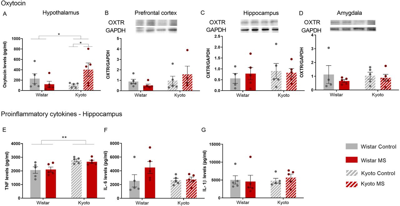MS disturbed mothers' neurobehaviour. After weaning, MS increased Kyoto (A) oxytocin levels, in agreement with the decreased of anxiety observed. (E) Kyoto showed high levels of TNF than Wistar strain. Quantification of (A) oxytocin (pg/ml) levels in hypothalamus by ELISA; OXTR in (B) PFC, (C) hippocampus and (D) amygdala by Western blotting; (E) TNF (pg/ml), (F) IL-6 (pg/ml) and (G) IL-1β (pg/ml) levels in hippocampus by ELISA. Data were analysed by two-way ANOVA (2 x 2 factorial design) with Bonferroni comparisons. (A), (B), (C), (F), (G) data were log-transformed. n = 5, except for (B) MS Kyoto, and (C) (D) for control Wistar: n = 4. Results are expressed as mean ±SEM. * p