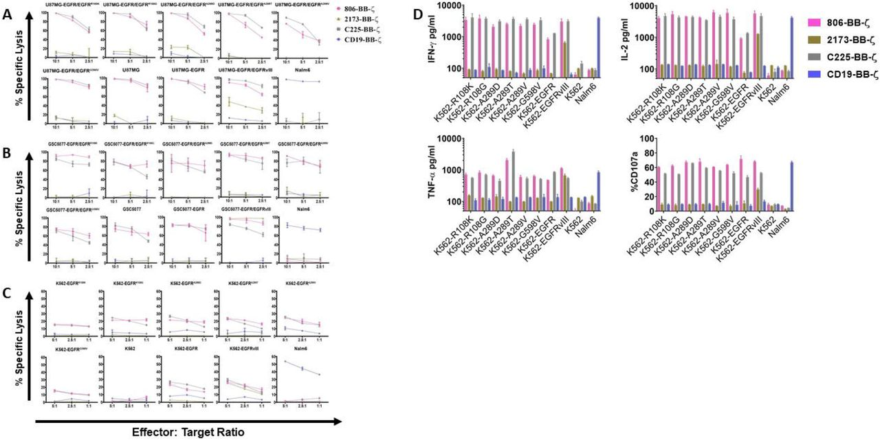 in vitro characterization of 806 EGFR CAR T cells. Antigen specific cytolytic activity of 806 and 2173 CAR T cells against cell lines expressing EGFR and its variants. (A) U87MG-EGFR and GSC5077-EGFR cell lines expressing EGFRvIII, EGFR R108K/G , EGFR A289D/T/V , and EGFR G598V mutant variants were stably transduced with Click Beetle Green (CBG) and co-cultured with CAR T cells at indicated effector to target ratios for 24 hours. One representative experiment from 3 normal donors is shown. Samples were performed in triplicates in 3 replicative experiments. C225-BB-ζ CAR and CD19-BB-ζ CAR were used as positive and negative controls, respectively. (B) Antigen specific cytolytic activity of 806 and 2173 CAR T cells in EGFR and its variants expressed in K562 cells in a 4-hour chromium release assay at indicated effector to target ratios. (C) K562 cells expressing wtEGFR, EGFRvIII, or EGFR-mutants were co-cultured with 806 CART cells for 48 hours. IFN-γ, TNF-α, and IL2 secretion was measured in the supernatant by ELISA. Bar charts represent results from single experiment and values represent the average + SD of triplicates. (D) CD107a upregulation on CAR T cells stimulated with K562 cells expressing wtEGFR, EGFRvIII, or EGFR-mutants for 4 hours. The percentage of CD107a expression was quantified on CD3 cells (values represent the average of + SD of 2 repeated experiments).
