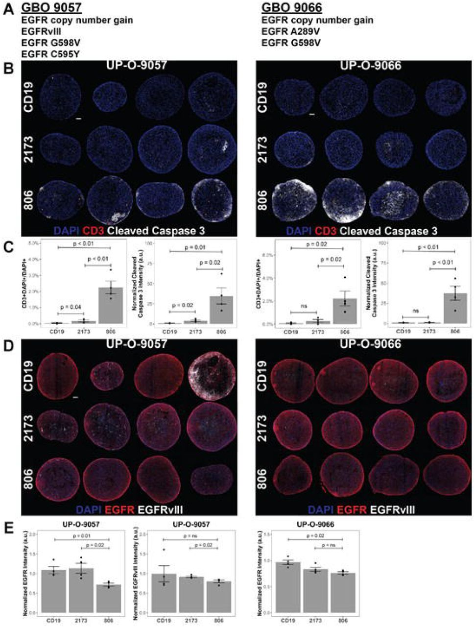 806 CAR T activity in heterogenous GBOs highlights cross-reactivity of 806 binder against oncogenic EGFRs. CAR T co-culture with GBOs was used to demonstrate anti-EGFR activity. (A) EGFR alterations identified in each GBO line. (B) Immunofluorescence images of CAR T cells engrafted GBOs, for 4 organoids per condition, 9057 (left) and 9066 (right). Blue=DAPI; Red=CD3 + ; White=Cleaved caspase 3 + (CC3 + ), scale bar = 100 µm. (C) Quantification of CD3 + cells (left) and CC3 + cells (right) showing anti-tumor activity from the 806 CAR T cells. (D) Immunofluorescence images of CAR T cell targets in GBOs, for 9057 (left) and 9066 (right). Blue=DAPI; Red=EGFR + ; White=EGFRvIII + , scale bar = 100 µm. (E) Quantification of EGFR + (left) and EGFRvIII + signals (right) showing anti-tumor activity from the 806 CAR T cells. Error bars are ± standard error.