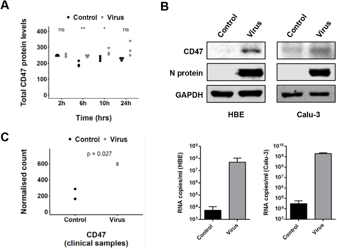 SARS-CoV-2 infection is associated with increased CD47 levels. A) TF protein abundance in uninfected (control) and SARS-CoV-2-infected (virus) Caco-2 cells (data derived from [ Bojkova et al., 2020 ]. P-values were determined by two-sided Student's t-test. B) CD47 and SARS-CoV-2 N protein levels and virus titres (genomic RNA determined by PCR) in SARS-CoV-2 strain FFM7 (MOI 1)-infected air-liquid interface cultures of primary human bronchial epithelial (HBE) cells and SARS-CoV-2 strain FFM7 (MOI 0.1)-infected Calu-3 cells. Uncropped blots are provided in Suppl. Figure 1. C) CD47 mRNA levels in post mortem samples from COVID-19 patients (data derived from [ Blanco-Melo et al., 2020 ]). P-values were determined by two-sided Student's t-test.