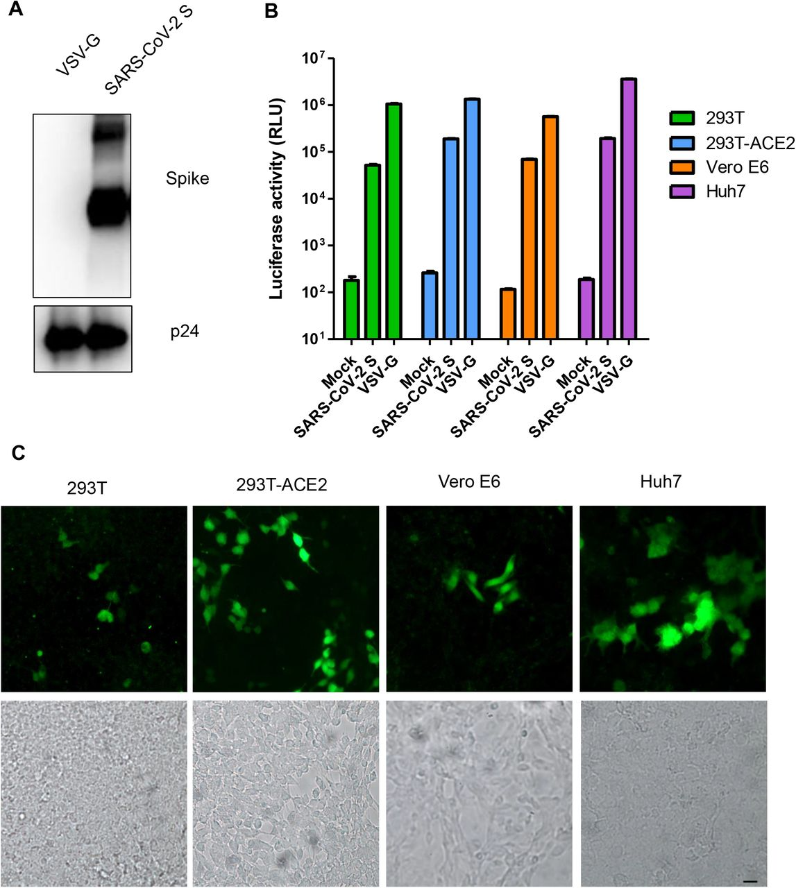 Characterization of SARS-CoV-2 Spike pseudovirus. A. Incorporation of SARS-CoV-2 S protein into pseudoviruses. VSV-G and S pseudoviruses were pelleted as described in Materials and Methods and subjected to SDS-PAGE, immunoblotted with anti-Spike and <t>HIV</t> <t>p24</t> as control. B. S pseudovirus transduction of 293T, 293T-ACE2, Vero E6 and Huh 7 cells. 293T, 293T-ACE2, Vero E6 and Huh 7 cells were mock infected or infected with S pseudovirus, VSV-G pseudovirus expressing NanoLuc luciferase. At 48 h post transduction, luciferase activity was measured. Values are mean ± SD and are representative of three independent experiments. C. 293T, 293T-ACE2, Vero E6 and Huh 7 cells transduced with S pseudovirus expressing GFP. Bright field was included to show the presence of cells. Bar, 20μm.
