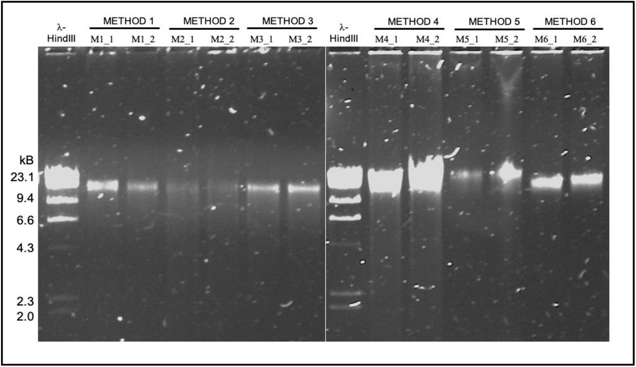 Agarose gel electrophoresis of genomic DNA isolated from a pool of tongue dorsum samples. Genomic DNA was electrophoresed on a 0.8% (w/v) agarose gel. Method 1, Method 2 and Method 3 replicates (22 ng input, left panel) and Method 4, Method 5 and Method 6 replicates (44 ng input, right panel) are shown. Different DNA inputs were used based on overall sample availability. λ-HindIII, Lambda DNA, digested with the restriction endonuclease HindIII, was used to assess fragment size distribution.