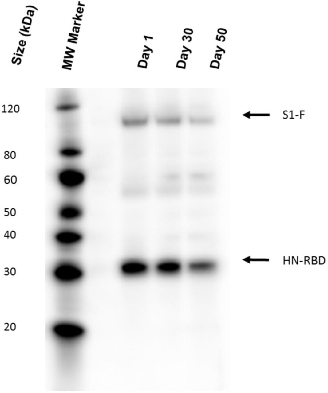 S tability of the lyophilized NDV vaccine. The expression of S1-F and HN-RBD proteins in Vero E6 cells infected with the lyophilized NDV vaccine was confirmed at day 1, 30, and 50 days post-lyophilized by Western blot assay using a rabbit antibody specific to SARS-CoV-2 RBD protein and Anti Rabbit IgG conjugated to HRP. The black arrow indicates the expected protein band.