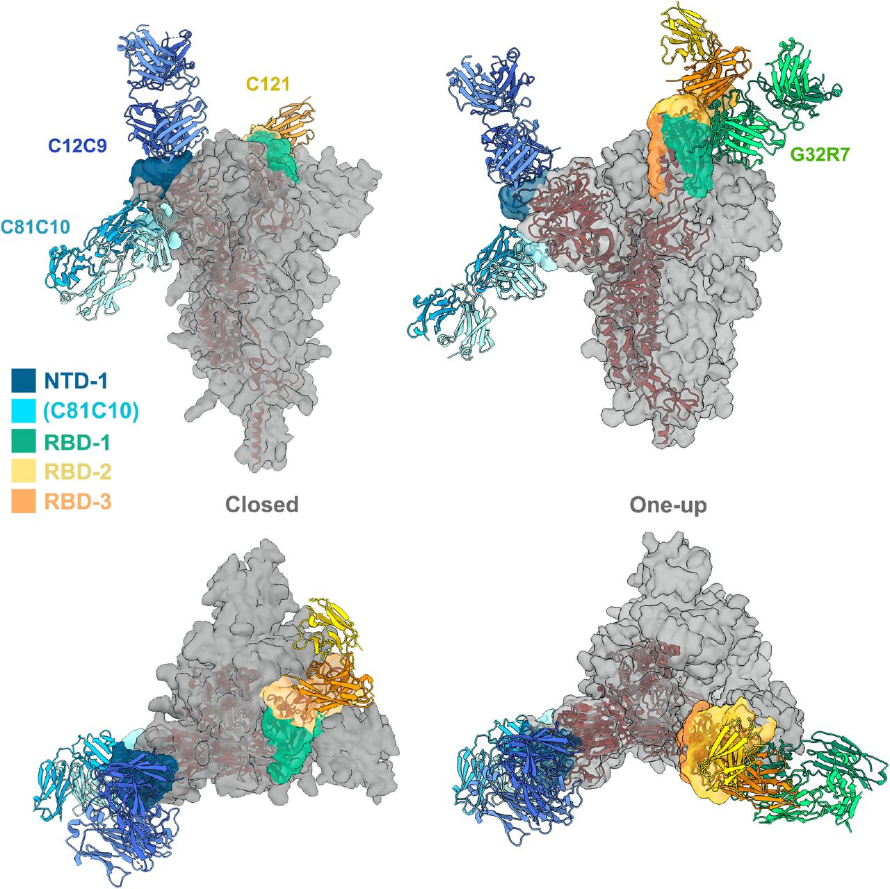 """Ab contact regions. Surface regions of the SARS-CoV-2 spike protein trimer contacted by antibodies in four of the seven principal clusters, according to the color scheme shown (taken from the color scheme in Fig. 2 ), with a representative Fab for all except RBD-3. The C81C10 Fab defines an epitope just outside the margin of NTD-1, but it does not compete with any antibodies in RBD-2. The RBD-2 Fv shown is that of C121 (PDB ID: 7K8X: Barnes et al, 2020), which fits most closely, of the many published RBD-2 antibodies, into our low-resolution map for C12A2. Left: views normal to and along threefold axis of the closed, all-RBD-down conformation; right: similar views of the one-RBD-up conformation. C121 (RBD-2) can bind both RBD down and RBD up; G32R7 (RBD-1) binds only the """"up"""" conformation of the RBD. The epitopes of the several published RBD-3 antibodies are partly occluded in both closed and open conformations of the RBD; none are shown here as cartoons. A cartoon of the polypeptide chain of a single subunit (dark red) is shown within the surface contour for a spike trimer (gray)."""