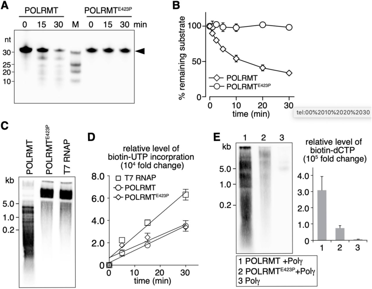 Exoribonuclease activity of POLRMT is essential for priming DNA replication in vitro . (A) POLRMT E423P lacks the exoribonuclease activity. 5'-Biotin-labeled target ssRNA (0.05 µM) was incubated with recombinant POLRMT or POLRMT E423P (0.5 µM) in 10 µl reaction mix for indicated time (min) and separated on a denaturing polyacrylamide gel (20%). Arrowhead indicates the full-length target RNA. (B) Pseudo-first-order cleavage kinetics of 5'-Biotin-labeled target ssRNA by POLRMT and POLRMT E423P . The level of remaining RNA in each time point was measured, normalized to the initial level and plotted. Each data point represents the average of three independent experiments. Error bars represent sd. (C) RNA synthesis of POLRMT, POLRMT E423P (500 fmol) and T7 RNA polymerase (0.5 units) on M13mp18 ssDNA template. RNA products were separated on a denaturing polyacrylamide gel (10%). Molecular size markers are shown on the left. (D) Kinetics of Biotin-16-UTP incorporation in the in vitro transcription assay using POLRMT, POLRMT E423P (500 fmol) or T7 RNA polymerase (0.5 units) on ssDNA template. Each time point represents the average of three independent experiments. Error bars represent sd. A line of linear regression was plotted for each protein. (POLRMT, R 2 =0.98; POLRMT E423P , R 2 =0.84; T7 RNA polymerase, R 2 =0.96.) (E) The RNA-primed DNA synthesis assay was monitored in the presence of <t>Biotin-11-dCTP</t> for labeling of DNA products. Lane 1, POLRMT (500 fmol) and POL γ (300 fmol); Lane 2, POLRMT E423P (500 fmol) and POL γ (300 fmol); Lane 3, Control experiment using POL γ (300 fmol) only. Reactions were incubated for 1 h at 37 °C and the products were analyzed on a denaturing polyacrylamide gel (10%). Each data point represents the average of three independent experiments. Error bars represent sd.