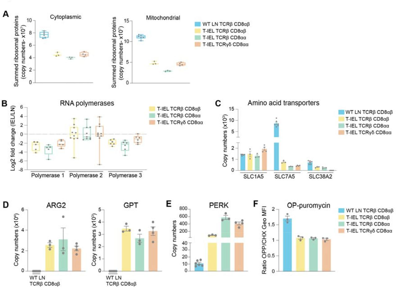 Downregulation of protein synthesis in <t>T-IEL</t> (A) Estimated total cytoplasmic (left) and mitochondrial (right) ribosomal protein content for LN TCRβ CD8αβ T cells and all T-IEL subsets. (B) Protein expression Log2 fold change (T-IEL/LN CD8 T cells) for Polymerase 1, 2 and 3 complexes. Each grey dot represents one of the polymerase subunits. (C) Estimated protein copy numbers of the amino acid transporters, SLC7A5 and SLC38A2, for WT LN TCRβ CD8αβ and all 3 subsets of T-IEL. (D) Estimated protein copy numbers of Arginase 2 (ARG2; left) and alanine aminotransferase (GPT; right) for WT LN TCRβ CD8αβ and all 3 subsets of T-IEL. (E) Estimated protein copy numbers of PRKR-Like Endoplasmic Reticulum Kinase (PERK) for WT LN TCRβ CD8αβ and all 3 T-IEL subsets. (F) OP-Puromycin <t>(OPP)</t> incorporation in ex vivo WT LN TCRβ CD8αβ and T-IEL. As a negative control, OPP incorporation was inhibited by cycloheximide (CHX) pre-treatment. OPP incorporation was assessed by flow cytometry 15 min after administration. Bar graph represents the geometric MFI of the OPP-AlexaFluor 647 in each T cell subsets normalized to the geometric MFI of the CHX pre-treated T cells. All error bars are SEM. Proteomic and OPP assay data are derived from at least 3 biological replicates. Symbols on the bars represent the biological replicates (except for B .)