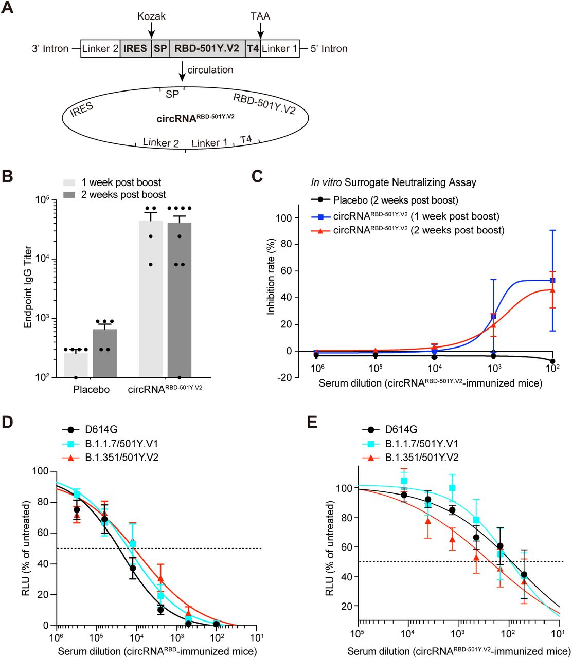 The susceptibility of SARS-CoV-2 D614G, B.1.1.7 or B.1.351variants to neutralizing antibodies elicited by the circRNA RBD or circRNA RBD-501Y.V2 vaccines in mice. ( A ) Schematic diagram of circRNA RBD-501Y.V2 circularization by the Group I ribozyme autocatalysis. SP, signal peptide sequence of human tPA protein. T4, the trimerization domain from bacteriophage T4 fibritin protein. RBD-501Y.V2, the RBD antigen harboring the K417N-E484K-N501Y mutations in SARS-CoV-2 501Y.V2 variant. ( B ) Measuring the SARS-CoV-2 specific IgG antibody titer with ELISA. The data was shown as the mean ± S.E.M. Each symbol represents an individual mouse. ( C ) Sigmodal curve diagram of the inhibition rate by sera of immunized mice with surrogate virus neutralization assay. Sera from circRNA RBD-501Y.V2 (50 μg) immunized mice were collected at 1 week or 2 weeks post boost. The data were shown as the mean ± S.E.M. ( D ) Neutralization assay of VSV-based D614G, B.1.1.7 or B.1.351 pseudovirus with the serum of mice immunized with circRNA RBD vaccines. The serum samples were collected at 5 weeks post boost. The data were shown as the mean ± S.E.M. (n = 5). ( E ) Neutralization assay of VSV-based D614G, B.1.1.7 or B.1.351 pseudovirus with the serum of mice immunized with circRNA RBD-501Y.V2 vaccines. The serum samples were collected at 1 week post boost. The data were shown as the mean ± S.E.M. (n = 5).