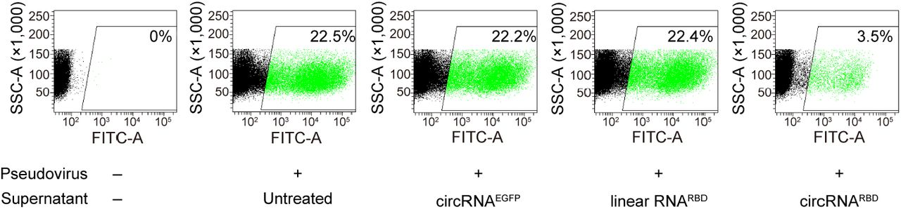 The FACS chromatogram of the competitive inhibition of SARS-CoV-2 pseudovirus infection (harboring EGFP reporter) by the circRNA RBD -translated RBD antigens.
