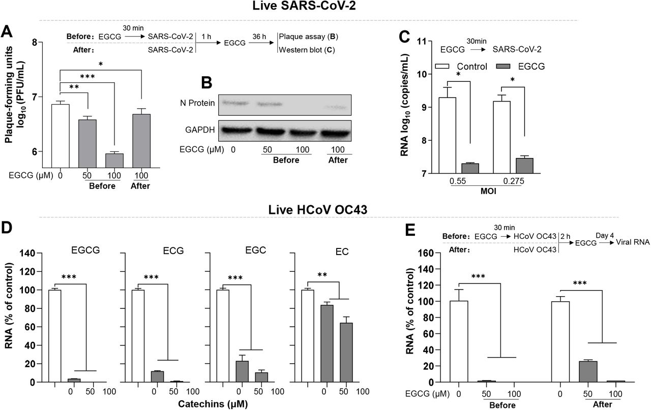 EGCG inhibits live SARS-CoV-2 and HCoV OC43 infection. ( A ) Human lung epithelial cells (Calu-3) were treated with EGCG (50,100 μM) before or after live SARS-CoV-2 (USA isolate) infection at MOI=5. Cells were washed 3 times with pre-warmed medium to remove free virus at 1 h post-infection, and then maintained in complete medium containing EGCG for 36 h. Supernatants were collected and plaque assay was carried out using Hela/ACE2-11 cells. ( B ) Cells from ( A ) were lysed and subjected to western blot to detect SARS-CoV-2 N protein. ( C ) HEK293T-hACE2 cells were pretreated with EGCG (100 μM) for 30 min prior to live SARS-CoV-2 (USA isolate) infection at MOI=0.055 or 0.275. After 1 h virus adsorption in the presence of EGCG, the cells were washed twice with pre-warmed medium, and then maintained in complete medium containing EGCG for 48 h. SARS-CoV-2 RNA copies from culture supernatant were determined at 48 h post-infection by RT-qPCR. ( D ) HCT-8 cells (susceptible cells for HCoV OC43) were pretreated with catechins at indicated dose for 30 min prior to HCoV OC43 infection at MOI=0.1. After 2 h virus adsorption, the cells were washed twice with pre-warmed medium, and then maintain in complete medium containing EGCG. ( E ) HCT-8 cells were treated with EGCG (50,100 μM) before or after live HCoV OC43 infection at MOI=0.1. After 2 h virus adsorption, the cells were washed twice with pre-warmed medium, and then maintain in complete medium containing EGCG. Intracellular HCoV OC43 RNA were determined at day 4 post-infection by qRT-PCR. Data are shown as mean ± SD, representative of two independent experiments with 3 replicates. * P