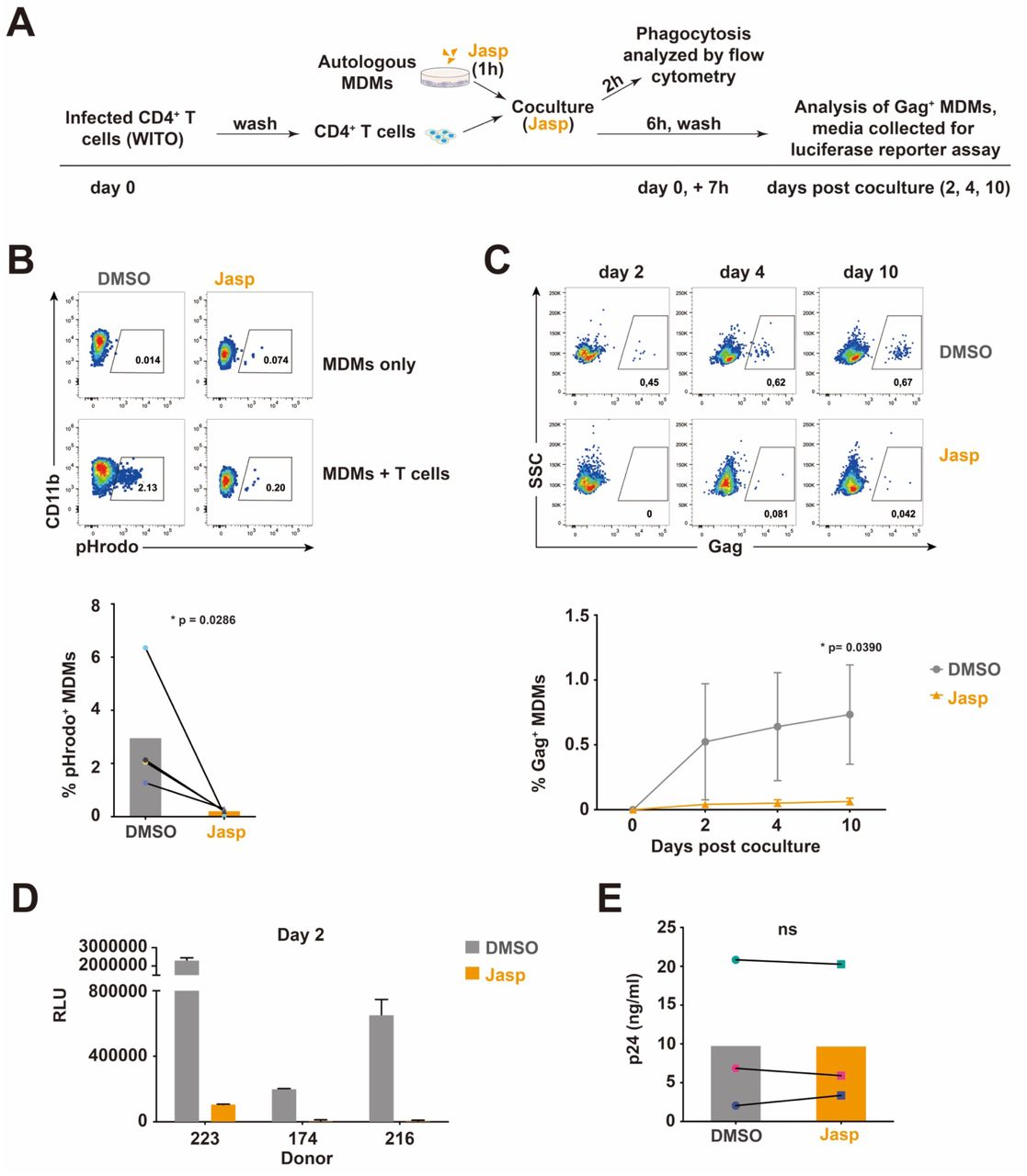 Inhibition of phagocytosis hinders productive infection of MDMs by T/F virus. (A) Experimental strategy for coculture of infected CD4 + T cells, with autologous MDMs pretreated with Jasplakinolide (Jasp), analysis of phagocytosis and MDM productive infection. Pretreated MDMs (1 h with Jasp or vehicle (DMSO)) were cocultured for 6 h with WITO-infected CD4 + T cells in the presence of Jasp or DMSO. MDMs were also cocultured for 2 h with the same number of pHrodo-treated CD4 + T cells and analyzed for phagocytosis by flow cytometry. MDMs were maintained in culture after washing-off T cells and collected at the indicated time points for intracellular Gag staining and flow cytometry analysis. Evaluation of infectious virus production was determined as described above using the TZM-bl assay. (B) Inhibition of phagocytosis by Jasp. Representative flow cytometry dot-plots of MDMs (CD11b + ) with percentage of pHrodo + populations corresponding to phagocytosis of CD4 + T cells by MDMs (top) and summary graph (bottom), analyzed by Mann-Whitney U-test, (*, P