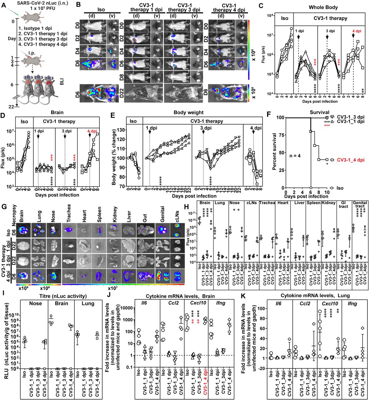CV3-1 Therapy Protects Mice from Lethal SARS-CoV-2 Infection. (A) Experimental design to test in vivo efficacy of CV3-1 administered i.p. (12.5 mg/kg body weight) at indicated times after i.n. challenge of K18-hACE2 mice with SARS-CoV-2 nLuc followed by non-invasive BLI every 2 days. Human IgG1 treated (12.5 mg/kg body weight) mice were the control cohort. (B) Representative images from temporal BLI of SARS-CoV-2-nLuc-infected mice in ventral (v) and dorsal (d) positions at the indicated dpi and after necropsy. (C-D) Temporal quantification of nLuc signal acquired non-invasively as flux (photons/sec) in indicated regions of each mice. (E) Temporal changes in mouse body weight at indicated dpi with initial body weight set to 100%. (F) Kaplan-Meier survival curves of mice statistically compared by log-rank (Mantel-Cox) test for experiment as in A. (G, H) Ex vivo imaging of indicated organs and quantification of nLuc signal as flux(photons/sec) at indicated dpi after necropsy. (I) Viral loads estimated as nLuc activity/g of indicated organs using Vero E6 cells as targets. Non-detectable virus amounts were set to 1. (J, K) Cytokine mRNA levels in lung and brain tissues after necropsy. The data was normalized to Gapdh in the same sample and that in uninfected mice. Viral loads (I) and inflammatory cytokine profile (J, K) were determined after necropsy at times indicated in G. Each curve in (C)-(E) and each data point in (H)-(K) represents an individual mouse. CV3-1 treatment times are indicated in (C)-(E). Grouped data in (C)-(K) were analyzed by 2-way ANOVA followed by Dunnett's or Tukey's multiple comparison tests. Statistical significance for group comparisons to isotype control are shown in black and for those under CV3-1 therapies to 4 dpi-treated cohorts are shown in red. ∗, p