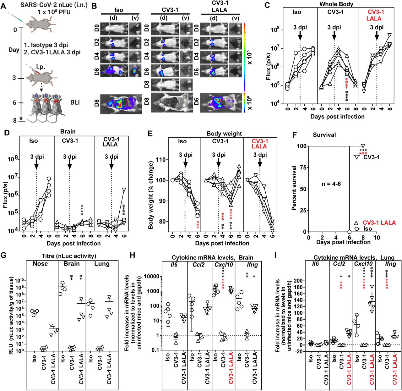 Fc-mediated Antibody Effector Functions Contribute to the In Vivo Efficacy of CV3-1 (A) Experimental design to test therapeutic efficacy of NAb CV3-1 and its corresponding Leucine to Alanine (LALA) mutant administered ip (12.5 mg/kg body weight) 3 dpi to K18-hACE2 mice challenged with SARS-CoV-2 nLuc followed by non-invasive BLI every 2 days. Human IgG1-treated (12.5 mg/kg body weight) mice were used as the control cohort. (B) Representative images from temporal BLI of SARS-CoV-2-nLuc-infected mice in ventral (v) and dorsal (d) positions at the indicated dpi and after necropsy. Scale bars denote radiance (photons/sec/cm 2 /steradian). (C-D) Temporal quantification of nLuc signal acquired non-invasively as flux (photons/sec) in indicated regions. (E) Temporal changes in mouse body weight at indicated dpi with initial body weight set to 100%. (F) Kaplan-Meier survival curves of mice statistically compared by log-rank (Mantel-Cox) test. for experiment as in A. (G) Viral loads (nLuc activity/g) in indicated organs using Vero E6 cells as targets. Undetectable virus amounts were set to 1. (H, I) Cytokine mRNA levels in lung and brain tissues after necropsy. The values were normalized to Gapdh in the same sample and that in uninfected mice. Viral loads (G) and inflammatory cytokine profile (H, I) was determined after necropsy at times indicated in B. Each curve in (C)-(E) and each data point in (G)-(I) represents an individual mouse. CV3-1 treatment times are indicated in (C)-(E). Grouped data in (C)-(I) were analyzed by 2-way ANOVA followed by Dunnett's or Tukey's multiple comparison tests. Statistical significance for group comparisons to isotype control are shown in black and between CV3-1 and CV3-1 LALA treated cohorts are shown in red. ∗, p
