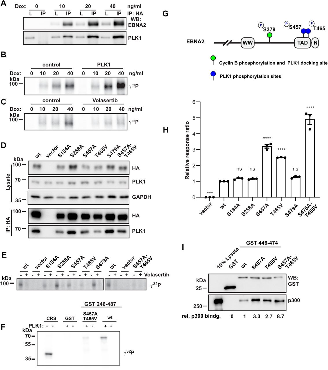 EBNA2/PLK1 phosphorylation-dependent complex formation Transfection and immunoprecipitation of (A) HA-tagged or for smaller fragments (B) GFP-tagged EBNA2 fragments to co-precipitate endogenous PLK1. Total protein lysates and immunoprecipitates (IP) were analyzed by Western blotting (WB). (C) Schematic outline of EBNA2, its dimerization domains (END, DIM), the region used by CBF1 to recruit EBNA2 to DNA (WW), the C-terminal transactivation domain (TAD), the nuclear localization signal (N) and the EBNA2 fragments used to map the PLK1 docking site (UniProt ID: P12978.1). The panel on the right summarizes the results of the co-immunoprecipitations in (A) and (B). (D) Multiple sequence alignment (left) and superposition (right) of several phosphopeptides present in published crystal structures of PLK1 PBD (phosphorylated residues stained red). Crystal structures of the PBD in complex with peptides show that the positively charged groove of PBD docks in a similar mode to the negatively charged phosphopeptides. References for PDB ID: 1Q4K ( Cheng et al , 2003 ), 1UMW ( Elia et al. , 2003a ), 4E9C ( Śledź et al , 2012 ), 3C5L ( Yun et al , 2009 ), 3HIK ( Yun et al. , 2009 ), 5X3S ( Lee et al , 2018 ), 3Q1I ( Pavlovsky et al , 2012 ). Potential residues of EBNA2, which might be a PBD docking site, are listed below. (E) Immunoprecipitation of HA-tagged EBNA2 mutant ST266AV, TSS377VAA and SPSS467APAA using HA-specific antibodies. (F) ITC thermogram of PLK1 PBD titrated with the peptide PNTSSPS or the phosphopeptide PNTSpSPS of EBNA2. (G) GST-pulldown of PLK1 from total cellular extracts using Cyclin B/CDK1 phosphorylated GST-EBNA2 region 342-422. (H) Co-immunoprecipitation of transfected EBNA2 wt or S379A and endogenous PLK1.