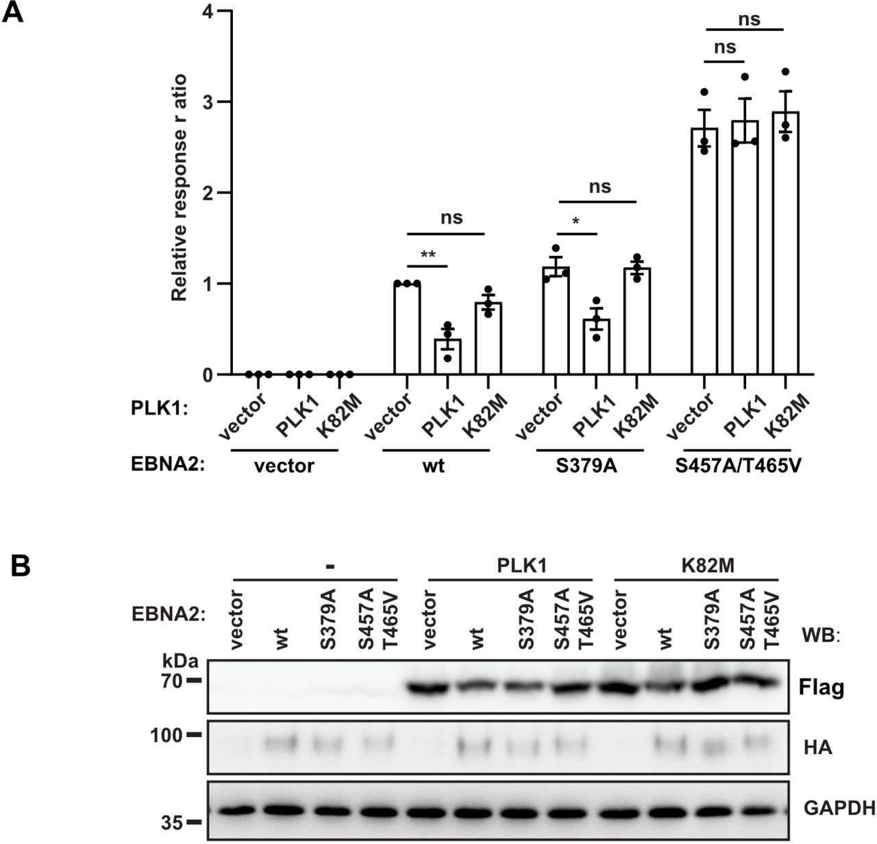 PLK1 phosphorylates the EBNA2 residue S457 and T465 within the C-terminal transactivation domain (A) Doxycycline (Dox) induction of EBNA2 in DG75 Dox HA-EBNA2 cells treated for 24 hours. Co-immunoprecipitates of HA-EBNA2 and endogenous PLK1 are visualized by Western blotting. (B) EBNA2/PLK1 co-precipitates were submitted to kinase reactions using [γ- 32 P] ATP in the absence (control) or presence of 50 ng recombinant active PLK1. (C) EBNA2 co-precipitates were submitted to kinase reactions in the absence (control) or the presence of the PLK1 inhibitor Volasertib (40 nM). (D) EBNA2 candidate phosphorylation mutants were expressed in DG75 B cells and tested for PLK1 binding by co-immunoprecipitations followed by Western blotting. (E) Immunoprecipitates were submitted to kinase reactions as in B, but samples were treated with Volasertib (40 nM) (+) or treated with solvent only (-). (F) GST EBNA2 fragment 246-487 wt and mutant S457A/T465V were treated with recombinant active PLK1 (+) in the presence of [γ- 32 P] ATP in vitro or left untreated (-). CRS, an artificial PLK1 test substrate ( Yuan et al , 2002 ), was used as a positive control. (G) Schematic presentation of EBNA2 phosphorylation sites by CDK1 and PLK1. (H) HA-tagged EBNA2 candidate phosphorylation mutants were expressed in DG75 B cells and tested for activation of an EBNA2/CBF1 responsive promoter reporter luciferase plasmid. Activation of the reporter gene is shown as relative response ratio normalized to Renilla luciferase activity and shown relative to wt activity. (I) GST-pull down assay using GST-EBNA2 446-474 as a bait to purify cellular proteins from DG75 cells followed by Western blotting and quantification of signals obtained by GST and p300 specific antibodies. Relative binding affinities (rel. p300 bindg.) are normalized to the wt signal.