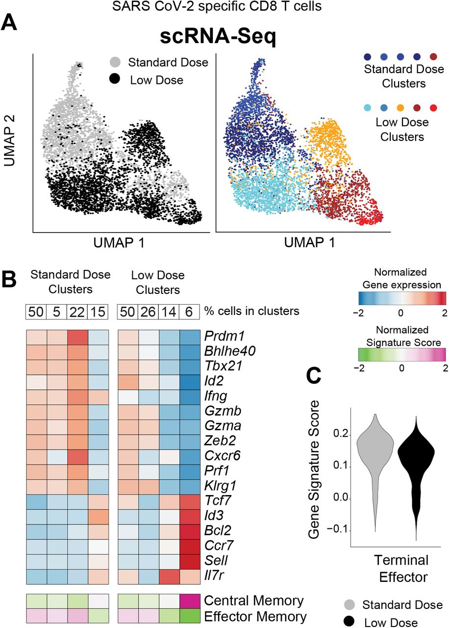 Single cell RNA-seq analyses demonstrate that a low dose prime favors central memory CD8 T cell differentiation. Mice were immunized with 10 6 or 10 9 PFU of Ad5-SARS-2 spike, and at day 28, splenic CD8 T cells were MACS-sorted. Subsequently, live, CD8+, CD44+, K b VL8+ cells were FACS-sorted to ~99% purity for scRNA-seq. (A) UMAP plots showing populations colored by regimen (left plot). Standard and low dose cells were cluster separately and UMAP (right plot) shows unsupervised cell clusters. (B) Heatmap showing row-standardized expression of selected effector and memory genes (middle rows) or gene signatures (bottom rows). For each population, percentages of cells in each cluster are indicated (top row). (C) Violin plot showing the normalized expression of the Terminal Effector signature in the Standard and Low dose populations.