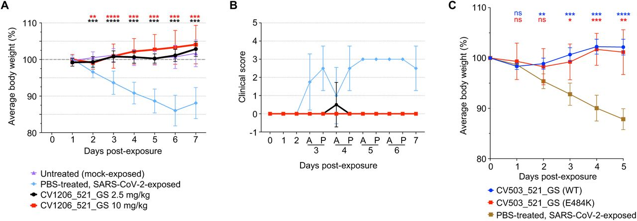 Bispecific antibodies prevent disease mediated by WT or E484K SARS-CoV-2 in an in vivo model. A, Weight change in hamsters that were administered CV1206_521_GS IP at a dose of 2.5 or 10 mg/kg, 24 h prior to IN virus exposure at 5log10 PFU. Differences between groups that were given the antibody versus PBS were determined using a mixed-effects repeated measures analysis with Dunnett's multiple comparisons; **P