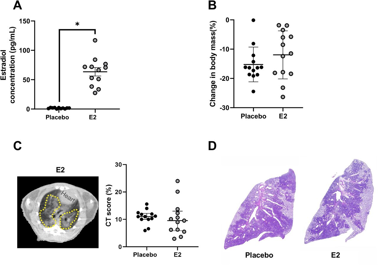 SARS-CoV-2 infected male hamsters treated with estradiol (E2) developed similar lung pathology as placebo-treated males. Male hamsters were treated with E2 capsules or placebo capsules prior to SARS-CoV-2 infection. Estrogen levels were quantified in plasma at 7 dpi (A). Change in body mass for E2-and placebo-treated males were quantified (B). CT score shows no difference between E2-treated males and placebo-treated males (C). Histopathology (H E) in a representative SARS-CoV-2-infected placebo-treated male and E2-treated male hamster lungs at 4X magnification are shown (D). The dashed yellow lines indicate lung lesions (GGO, consolidations and air bronchogram). E2 concentrations represented as mean ± standard error of the mean of two independent experiments (n=11-12/group) and significant differences between groups are denoted in asterisk (*p