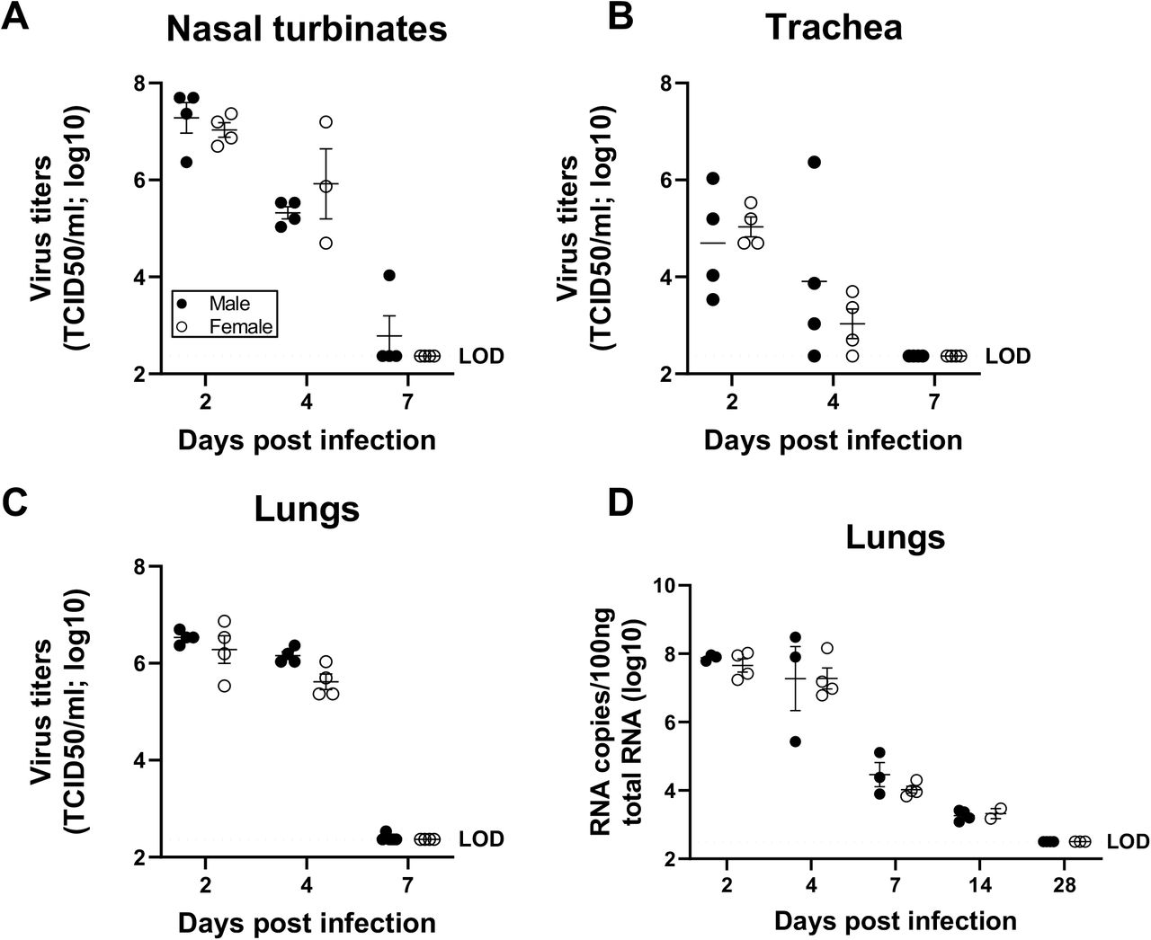 Virus titers were comparable in the respiratory system of SARS-CoV-2 infected male and female hamsters. Adult (8-10 weeks) male and female golden Syrian hamsters were infected with 10 5 TCID 50 of SARS-CoV-2. Infectious virus titers in the homogenates of nasal turbinates (A), trachea (B), and lungs (C), were determined by TCID 50 assay on 2, 4, and 7 dpi. Likewise, virus RNA copies in 100ng of total RNA were tested in the lungs of infected hamsters at 2, 4, 7, 14 and 28 dpi (D). Data represent mean ± standard error of the mean from one or two experiment(s) (n = 3-5/group) and were analyzed by two-way ANOVA (mixed-effects analysis) followed by Bonferroni's multiple comparison test.