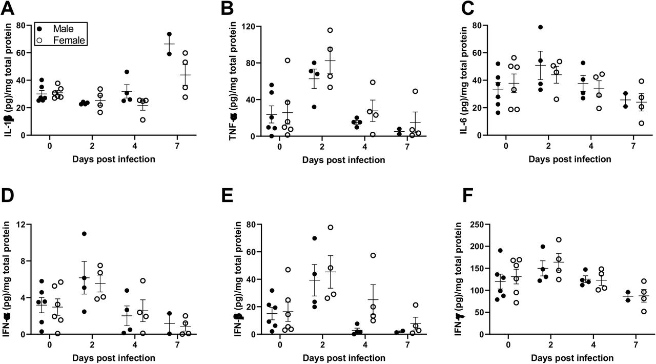 Cytokine responses in the lungs of SARS-CoV-2 infected male and female hamsters were comparable. Adult (8-10 weeks) male and female golden Syrian hamsters were infected with 10 5 TCID 50 of SARS-CoV-2. Subsets of animals were euthanized at different dpi and IL-1β (A), TNF-α (B), IL-6 (C), IFN-α (D), IFN-β (E), and IFN-γ (F) cytokine concentrations (pg/mg total protein) were determined in the lungs by ELISA. Mock-infected animal samples from different dpi were presented together as 0 dpi. Data represent mean ± standard error of the mean from one or two independent experiments (n = 2-6/group/sex) and were analyzed by two-way ANOVA (mixed-effects analysis) followed by Bonferroni's multiple comparison test.