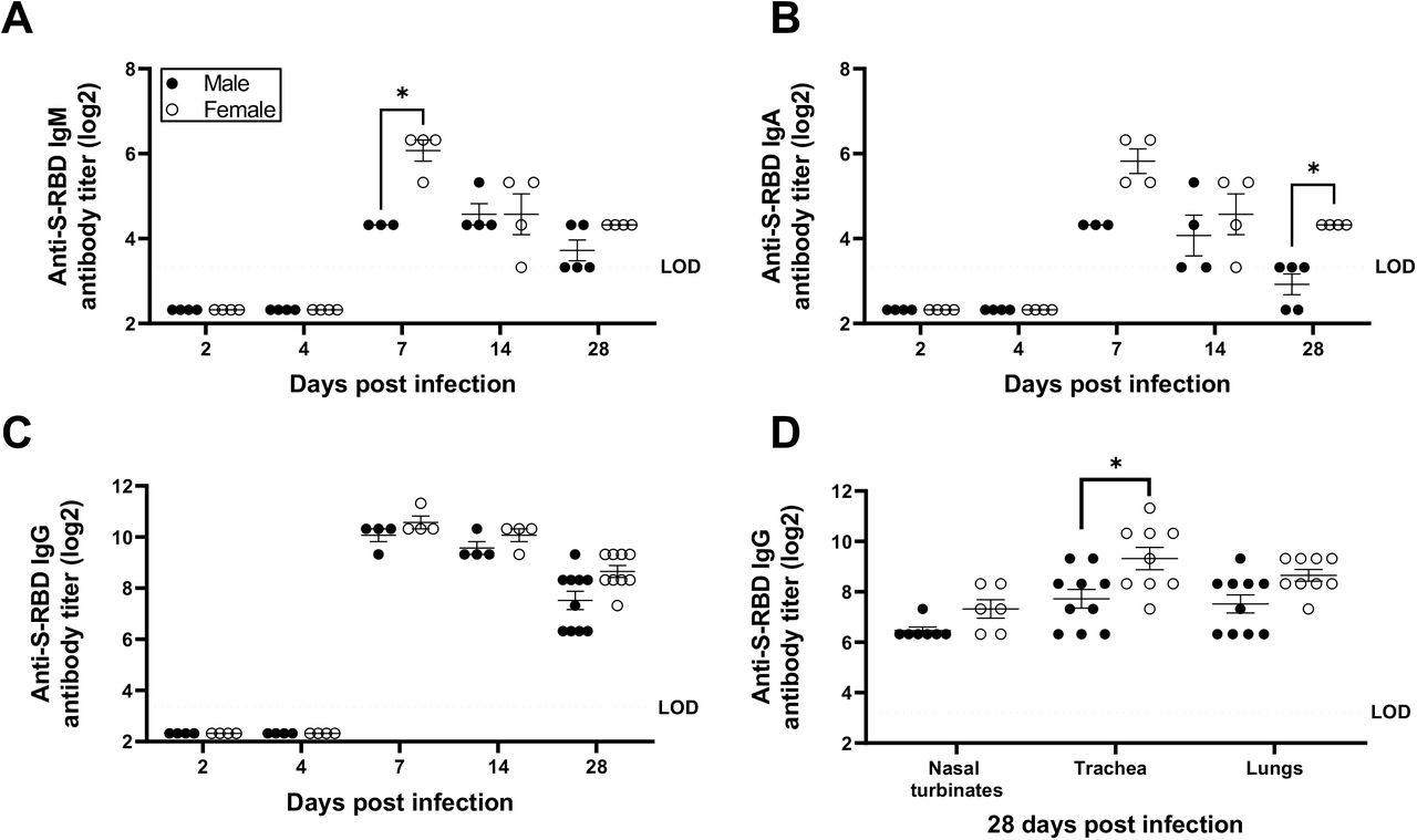 Antibody responses in the respiratory system of SARS-CoV-2 infected female hamsters were greater than males. Lung homogenates were prepared at different dpi and S-RBD-specific IgM (A), IgA (B), and IgG (C) antibodies were determined. Likewise, S-RBD-specific IgG antibodies were tested in the homogenates of nasal turbinates, trachea, and lungs at 28 dpi (D). Data represent mean ± standard error of the mean from one or two independent experiment(s) (n = 3-10/group) and significant differences between groups are denoted by asterisks (*p