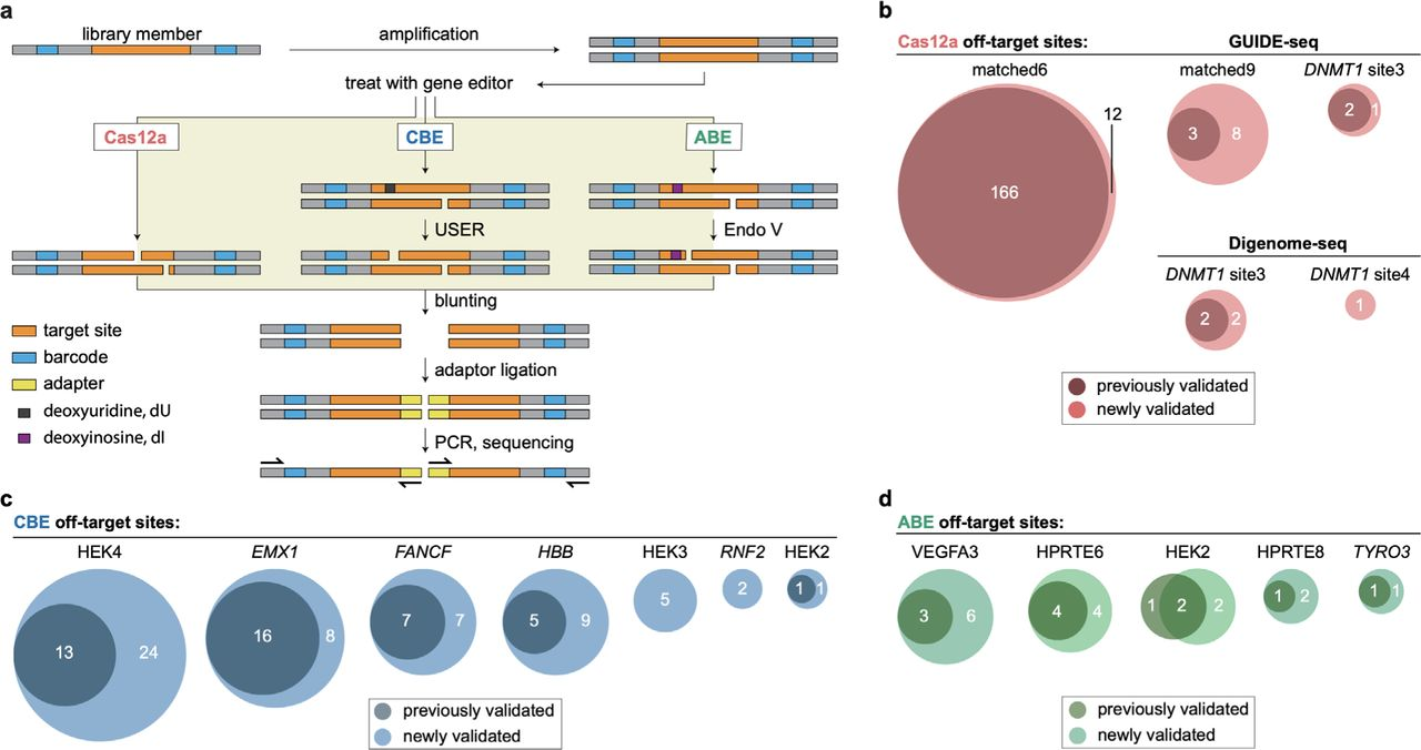 ONE-seq outperforms existing methods for nominating bona fide Cas12a, CBE, and ABE off-targets in human cells. a, Schematic overview of ONE-seq selections for Cas12a nucleases, CBEs, and ABEs. b , Venn diagrams illustrating identification of previously validated and newly validated LbCas12a off-target sites by ONE-seq; comparisons are shown for four different gRNAs previously assayed by GUIDE-seq or Digenome-seq. c, Venn diagrams illustrating identification of previously validated and newly validated CBE off-target sites by ONE-seq; comparisons are shown for seven different gRNAs previously assayed by Digenome-seq. d , Venn diagrams illustrating identification of previously validated and newly validated ABE off-target sites by ONE-seq; comparisons are shown for five different gRNAs previously assayed by Digenome-seq. b-d, All sites shown as validated by ONE-seq (light colored circles) had ONE-seq scores > 0.01. CBE, cytidine base editor; ABE, adenine base editor.