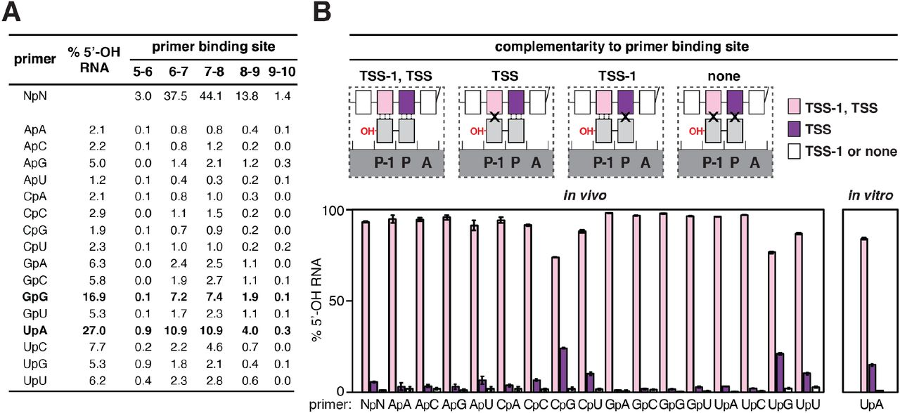 Promoter-sequence dependence of primer-dependent initiation: primer binding site. A.  Relative usage of dinucleotides in primer-dependent initiation in stationary-phase  E. coli  cells. Values represent the percentage of total 5′-OH RNAs generated using each of the 16 dinucleotide primers (mean, N = 3). Bold, dinucleotides preferentially used as primers. B.  Complementarity between the primer binding site and dinucleotide in primer-dependent initiation. Top: primer-dependent initiation involving template-strand complementarity to both 5′ and 3′ nucleotides of primer (TSS-1, TSS), template-strand complementarity to only 3′ nucleotide of primer (TSS), template-strand complementarity to only 5′ nucleotide of primer (TSS-1), or no template-strand complementarity to primer (none). Three vertical lines, complementarity; X, non-complementarity. Other symbols and colors as in   Figure 1 . Bottom: percentage of primer-dependent initiation involving complementarity to both 5′ and 3′ nucleotides of primer (TSS-1, TSS; pink), complementarity to only 3′ nucleotide of primer (TSS; purple), or template-strand complementarity to only 5′ nucleotide of primer or no template-strand complementarity to primer (TSS-1 or none; white) in stationary-phase  E. coli  cells (left) or  in vitro , with the dinucleotide primer UpA (right) (mean ± SD, N = 3).