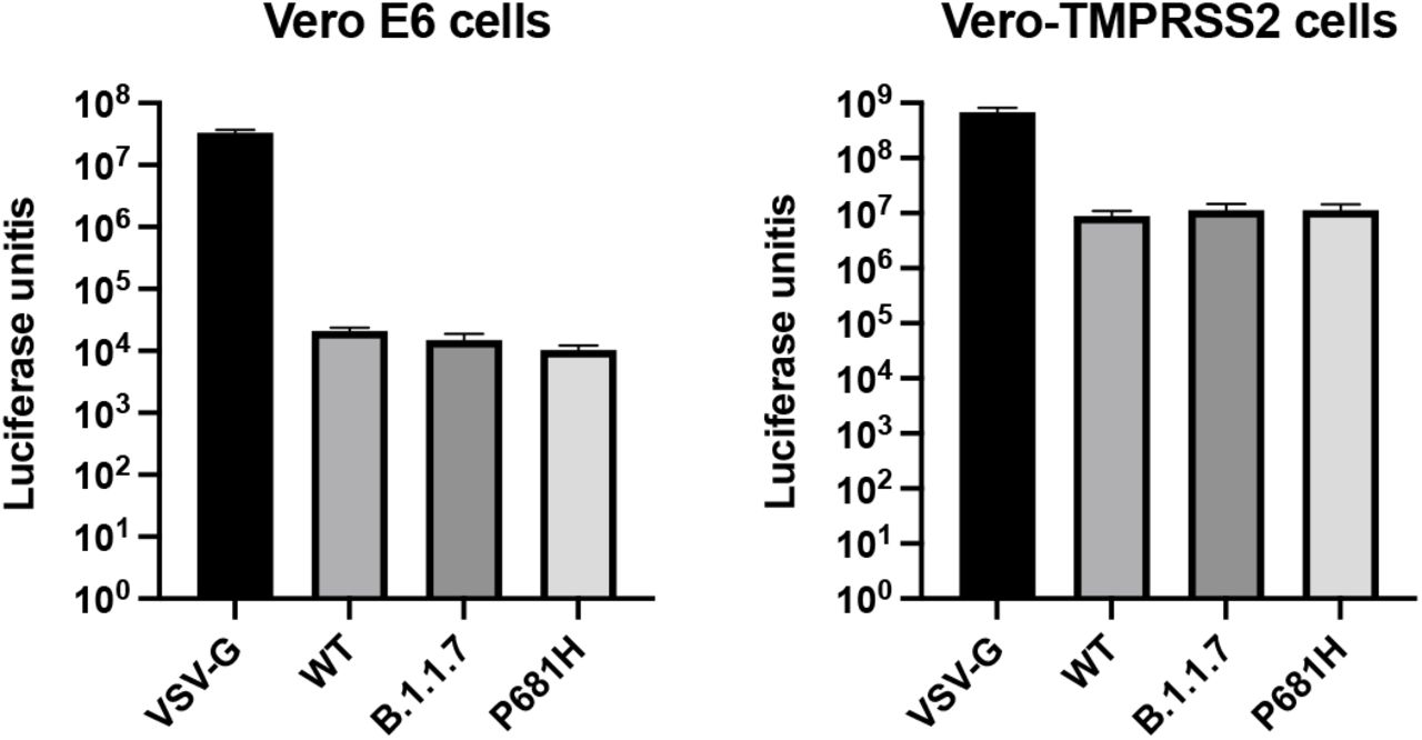 Pseudoparticle infectivity assays in VeroE6 and Vero-TMPRSS2 cells. VeroE6 and Vero-TMPRSS2 cells were infected with MLVpps harboring the VSV-G, SARS-CoV-2 S WT, SARS-CoV-2 S B.1.1.7 variant, SARS-CoV-2 S WT with P681H mutation. Data represents the average luciferase activity of cells of three biological replicates. No significant differences in luciferase transduction were observed between the infected cells.