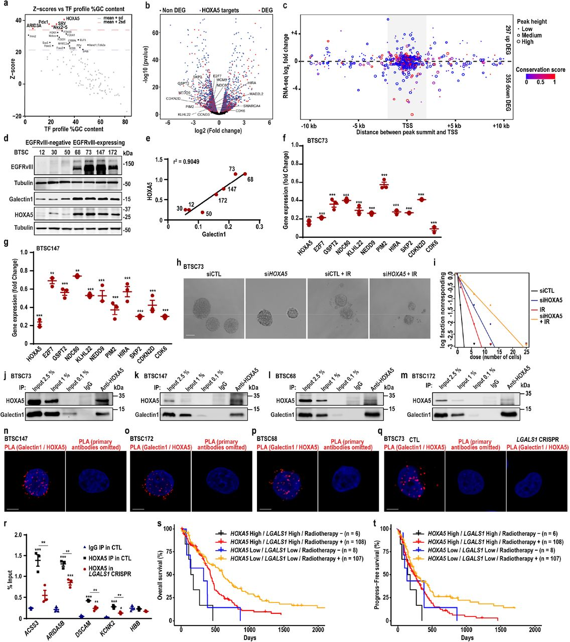 Galectin1 interacts with HOXA5 endogenously in EGFRvIII-expressing BTSCs. ( a ) LGALS1 -differentially genes from RNA-seq analysis were subjected to enrichment analysis of transcription factor (TF) binding motifs using oPOSSUM-3 software. High-scoring or over-represented TF binding site profiles were computed as having z-scores above the mean + 2 x standard deviation (red dotted line). ( b ) Volcano plot representing the HOXA5 targets genes among the LGALS1 -differentially-regulated genes is shown. LGALS1 -differentially regulated genes that possess HOXA5 binding sites (HOXA5 targets) are reported as blue dots, LGALS1 -differentially-regulated genes (DEGs) that do not possess HOXA5 binding sites are reported as red dots and the non-differentially regulated genes (Non DEGs) are represented as black dots. Black lines show RT-qPCR validated cell cycle related genes. ( c ) Relative positions of HOXA5 peaks, obtained from ChIP-seq analysis in human carcinoma cells, to the adjacent TSS of LGALS1 -differentially regulated genes from RNA-seq analysis are shown. The x-axis indicates the distance between peak centers and the TSS of adjacent LGALS1 -differentially regulated genes. The y-axis denotes the expression ratios (log2) of the LGALS1 -differentially regulated gene. Circle size indicates HOXA5 peak height, and color denotes the conservation score of HOXA5 peaks. ( d ) BTSCs were analyzed by immunoblotting using the antibodies indicated on the blots. Wild type EGFR and EGFRvIII bands are marked with * and **, respectively. ( e ) Correlation of HOXA5 expression with galectin1 expression was obtained by running Pearson analyses on the densitometric values of protein expression normalized to tubulin. ( f-g ) BTSCs were electroporated with siCTL or siRNA against HOXA5 (si HOXA5 ). mRNA levels of the LGALS1 -downregulated genes that possess HOXA5 motifs were evaluated by RT-qPCR. BTSC73 ( f ): *** p = 0.0001 for each pairwise comparison; BTSC147 ( g ): *** p = 0.0001 for each