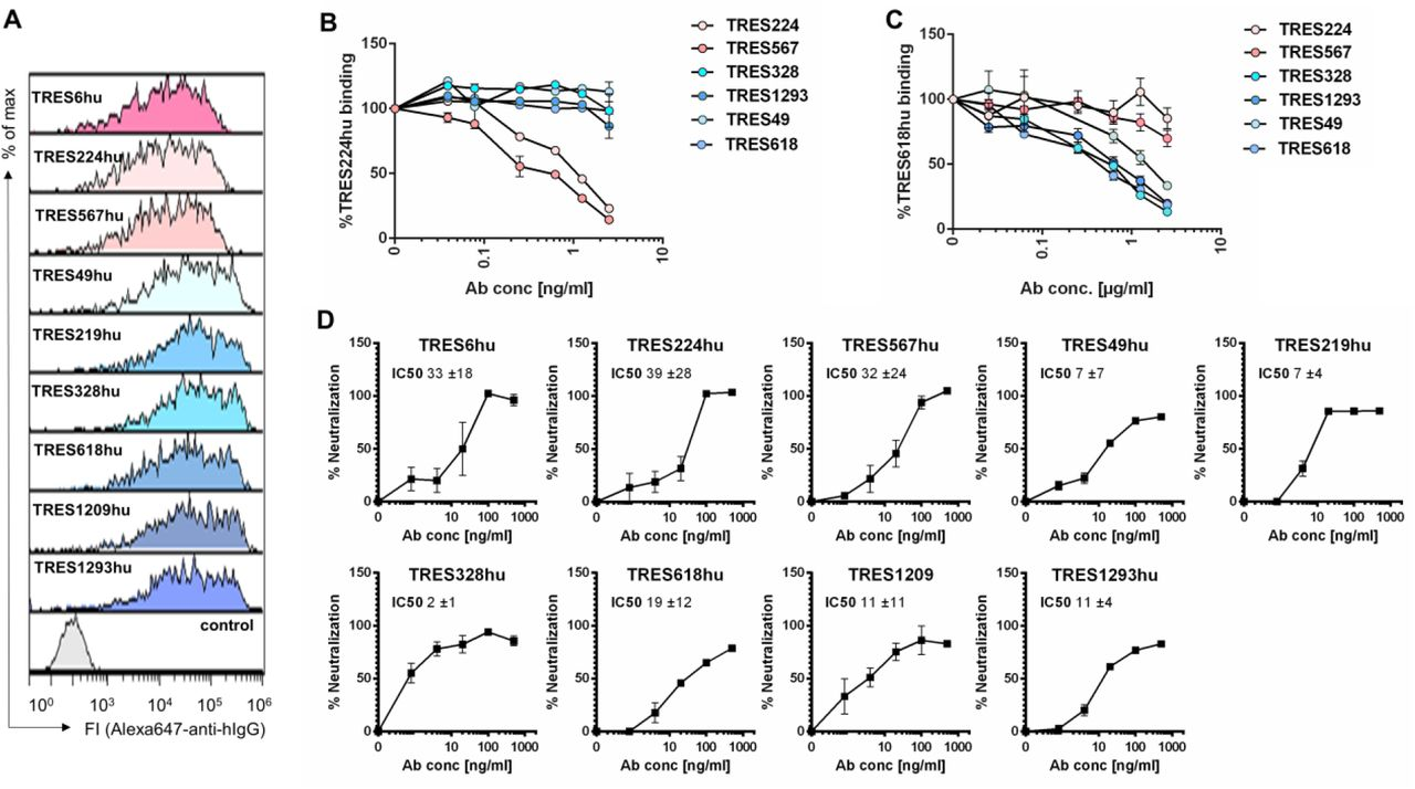Characterization of recombinant human TRES antibodies (A) Flow cytometric analysis of HEK-293T cells expressing the SARS-CoV-2-S protein and stained with recombinant humanized IgG1 TRES (TREShu) antibodies and a fluorochrome-labeled secondary antibody against human IgG-Fc. A non-S binding human antibody served as a negative control. (B, C) HEK-293T cells expressing the SARS-CoV-2 spike protein were incubated with recombinant TRES antibodies with a human Fcγ1 region and serially diluted TRES hybridoma antibodies with a murine Fcγ. Bound recombinant human TRES224hu (B) or TRES618hu (C) were detected with a mouse Alexa647-labeled antibody directed against the human Fcγ region. The mean percentages of binding and SEM of one experiment performed in triplicates are shown. (D) The SARS-CoV-2 neutralizing activity of the human recombinant TRES antibodies was analyzed as described in Fig. 4B . Shown are means and SEM of triplicates of one representative experiment out of three. Also given are the mean and standard deviation of IC50s, given in ng/ml, of the three independent experiments, calculated as described in Fig. 4B .