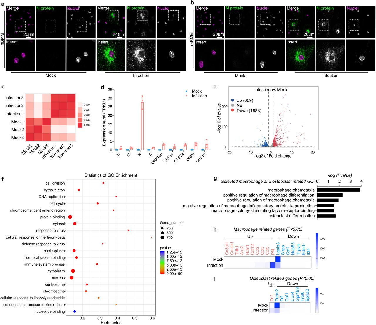 Authentic SARS-CoV-2 infects bone marrow-derived macrophages (BMMs). a-b , Confocal images showing the infection of SARS-CoV-2 in human ( a ) and mouse ( b ) BMMs. c-i , RNA-Seq analysis of SARS-CoV-2 infection in mouse BMMs. c , Heat map showing the correlation analysis of the SMART RNA-Seq results. d , Analysis of the expression of viral genes. e , Volcano plot showing the profile of altered gene expression. f , Top 20 enriched gene ontology (GO) terms. g , Significantly enriched GO terms on macrophage and osteoclast-related genes. h , Altered macrophage-related genes. i , Altered osteoclast-related genes.