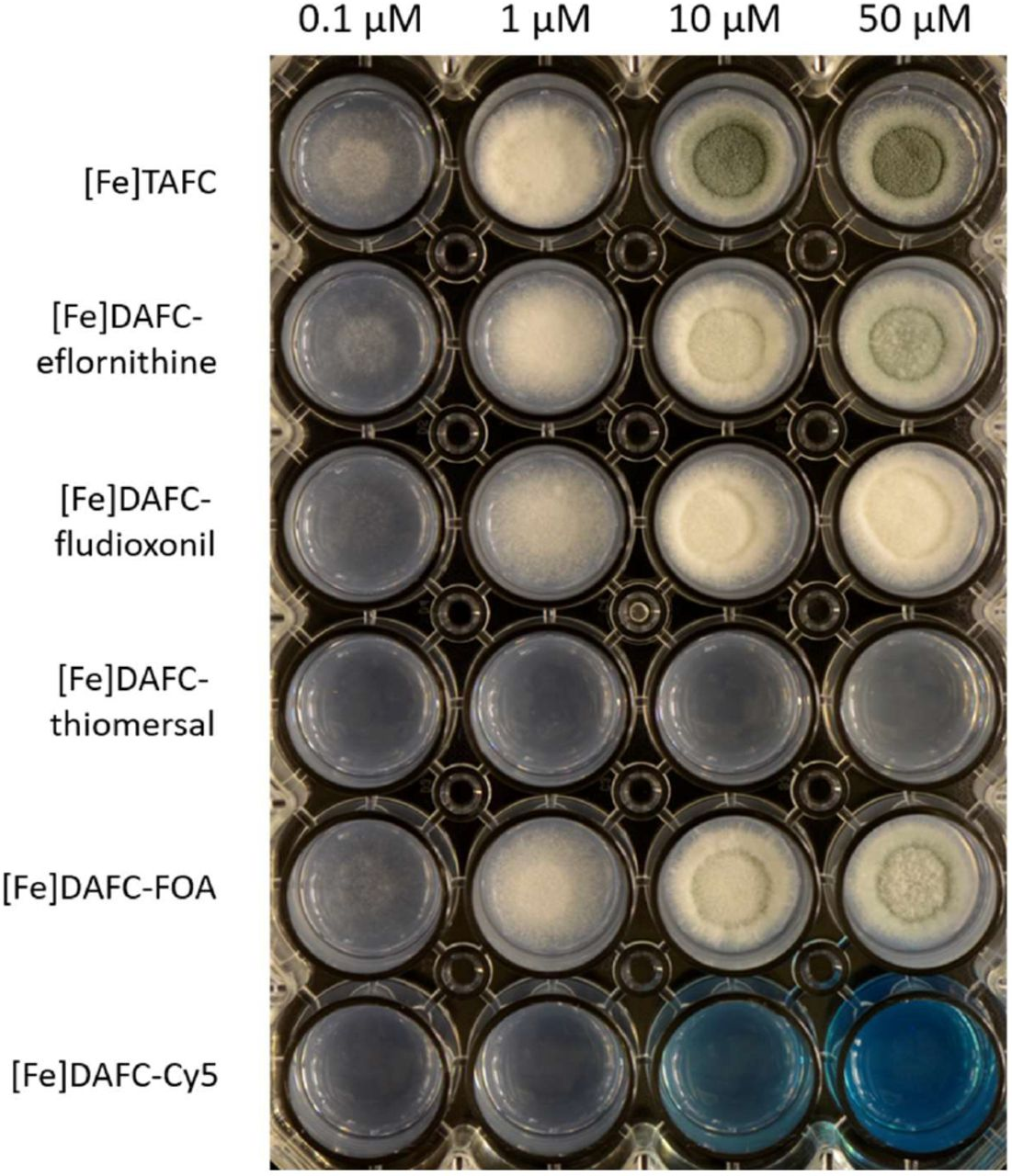 Growth promotion of A. fumigatus mutant strain Δ sidA /Δ ftrA after 48 h incubation at 37°C on iron depleted AMM with different concentrations of iron labelled conjugates. Hyphal growth can be distinguished from greenish (sporulation) and whitish (sterile) mycelia.