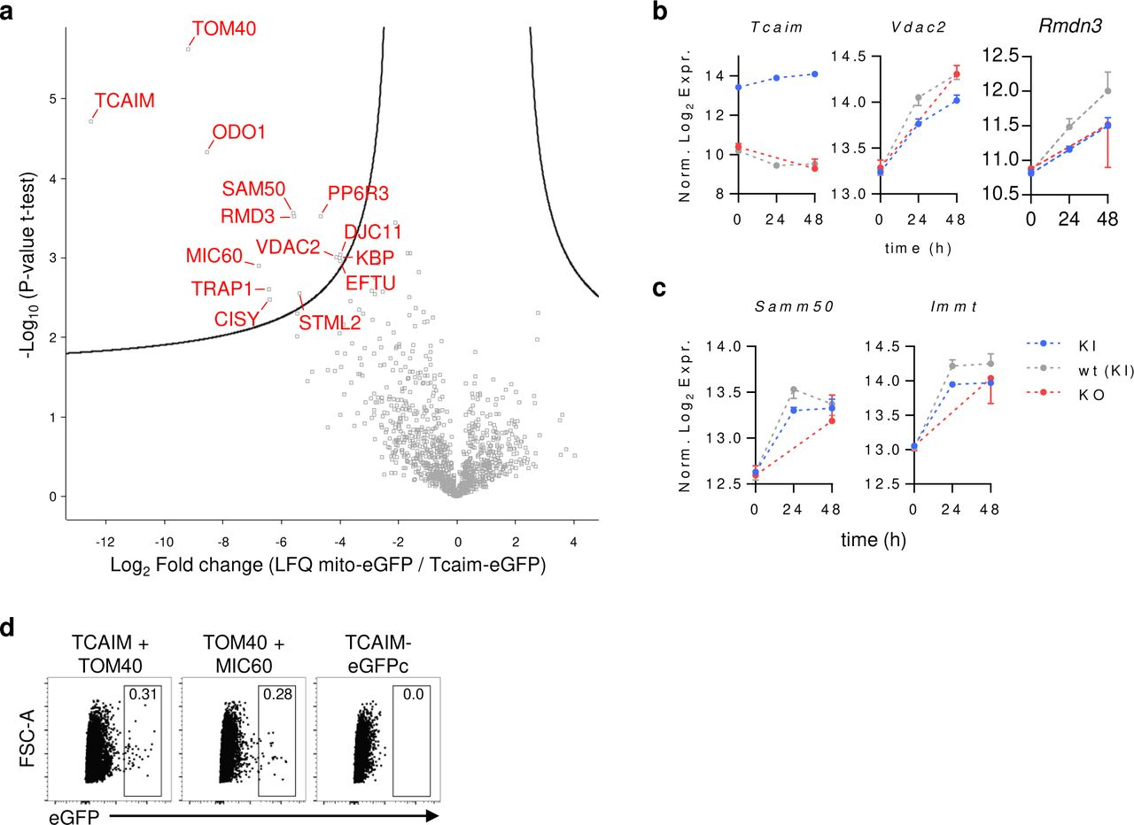 TCAIM interacts with MERC promoting proteins. ( a ) GFP co-immunoprecipitates of cell lysates from HEK293T cells transfected with pTCAIM-EGFP-N1 or mito-PAGFP control plasmid were analyzed for TCAIM interaction partner by LC-MS/MS. Volcano plot showing 14 proteins (FDR 0.05, S0 0.7) being significantly enriched only in pTCAIM-EGFP-N1 cell lysate fractions (n = 3). ( b-c ) mRNA expression of selected TCAIM interaction partners of naïve and polyclonally activated TCAIM KI, KO or wt CD8 + T cells (KI and wt: n = 3; KO: n = 2). RNA-seq raw count data of protein-coding genes were normalized and log 2 -transformed after adding a pseudocount to each value. Cells had been stimulated with 5 µg/ ml plate-bound αCD3 and 2 µg/ ml soluble αCD28 at a density of 6 x 10 5 cells/ 200 µl culture medium. ( d ) Representative dot plots from one out of two BiFC assay experiments for validation of TCAIM interaction with TOM40 measured by flow cytometry. As indicated HEK293T cells were transfected with plasmids encoding for the split eGFP fusion proteins TCAIM-eGFPc + TOM40-eGFPn, TOM40-eGFPn + MIC60-eGFPc as positive control or TCAIM-eGFPc alone as negative control. Quantitative data represents means ± SEM (b-c).