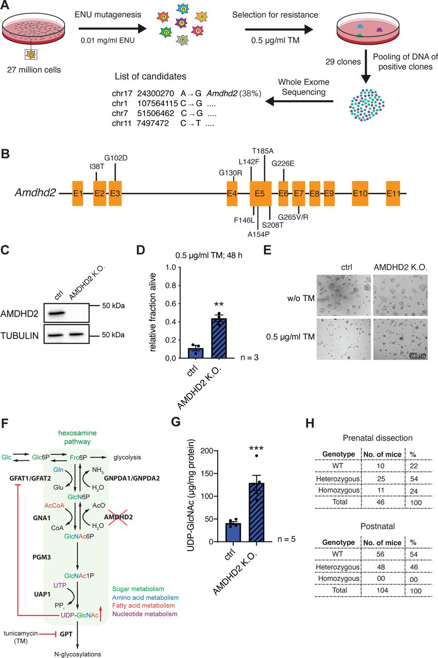 Chemical mutagenesis screen for tunicamycin resistance in mESCs identifies AMDHD2 (A) Schematic representation of experimental workflow for TM resistance screen using ENU mutagenesis in combination with whole exome sequencing. (B) Schematic representation of the mouse Amdhd2 locus. Amino acid substitutions identified in the screen are highlighted. (C) Western blot analysis of CRISPR/Cas9 generated AMDHD2 K.O. AN3-12 mESCs compared to wildtype cells (ctrl). (D) Cell viability (XTT assay) of WT and AMDHD2 K.O. AN3-12 cells treated with 0.5 µg/ml TM for 48h (mean ± SEM, n=3, ** p