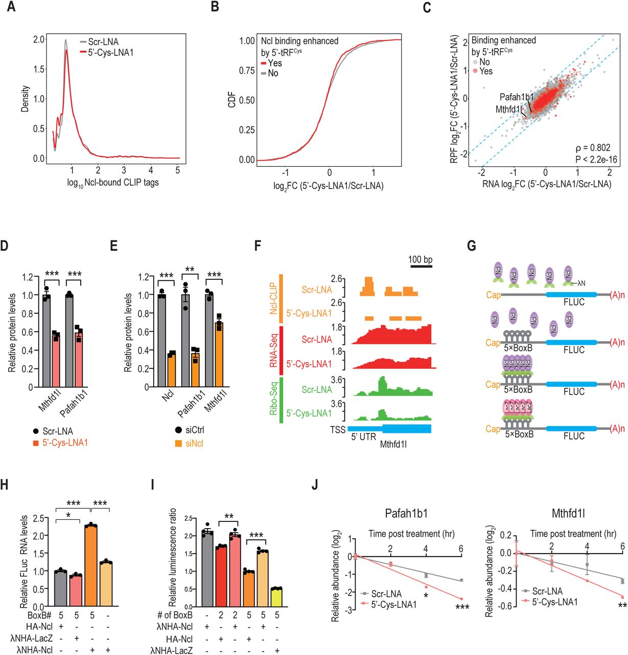 5'-tRF Cys promotes Nucleolin binding to its target transcripts to enhance their stability. A. Quantification of rRNA levels upon inhibition of 5'-tRF Cys by RT-qPCR. B. Representative polysome profiles showing global translation status in 4T1 cells upon inhibition of 5'-tRF Cys . Mono, monosomes. Di, disomes. C. Percentage of Nucleolin peaks in different types of <t>RNAs.</t> RMSK, repeat masked RNAs. D. The number of Nucleolin-bound CLIP peaks in 5', 3' untranslated region (UTR) or coding sequencing (CDS) per 10 kb in the mouse genome. E. Cumulative distribution function (CDF) plots of log 2 FC in transcript abundance for all transcripts stratified by whether they were bound by Nucleolin (red) or not (grey). Statistical significance was determined by Kolmogorov–Smirnov (KS) test (P = 4.8e-13). F. Scatter plot comparing log 2 FC in transcript abundance upon inhibition of 5'-tRF Cys with two distinct 5'-tRF Cys antisense LNAs. Statistically significantly changed genes are marked in red. The blue dashed line represents the linear regression line for all data points. ρ, Spearman's correlation coefficient. G. Scatter plot comparing log 2 FC in protein abundance and log 2 FC in transcript abundance between 5'-tRF Cys suppressed and control cells for all transcripts stratified by whether their Nucleolin binding is enhanced by 5'-tRF Cys (red) or not (grey). The blue dashed line represents the linear regression line for all data points. ρ, Spearman's correlation coefficient. H, I. Representative western blot images of 5'-tRF Cys targets upon suppression of 5'-tRF Cys (H) or depletion of Nucleolin (I). J. Genome browser view of the aligned Nucleolin (Ncl)-CLIP tags (orange), <t>RNA-Seq</t> reads (red) and Ribo-Seq reads (green) within the 5' UTR of Pafah1b1. The Y axis represents reads per million (RPM). TSS, transcription start site. K. Quantification by dual luciferase assays of the luminescence signals of reporters containing 5' UTRs from 5'-tRF Cys targets relative to 
