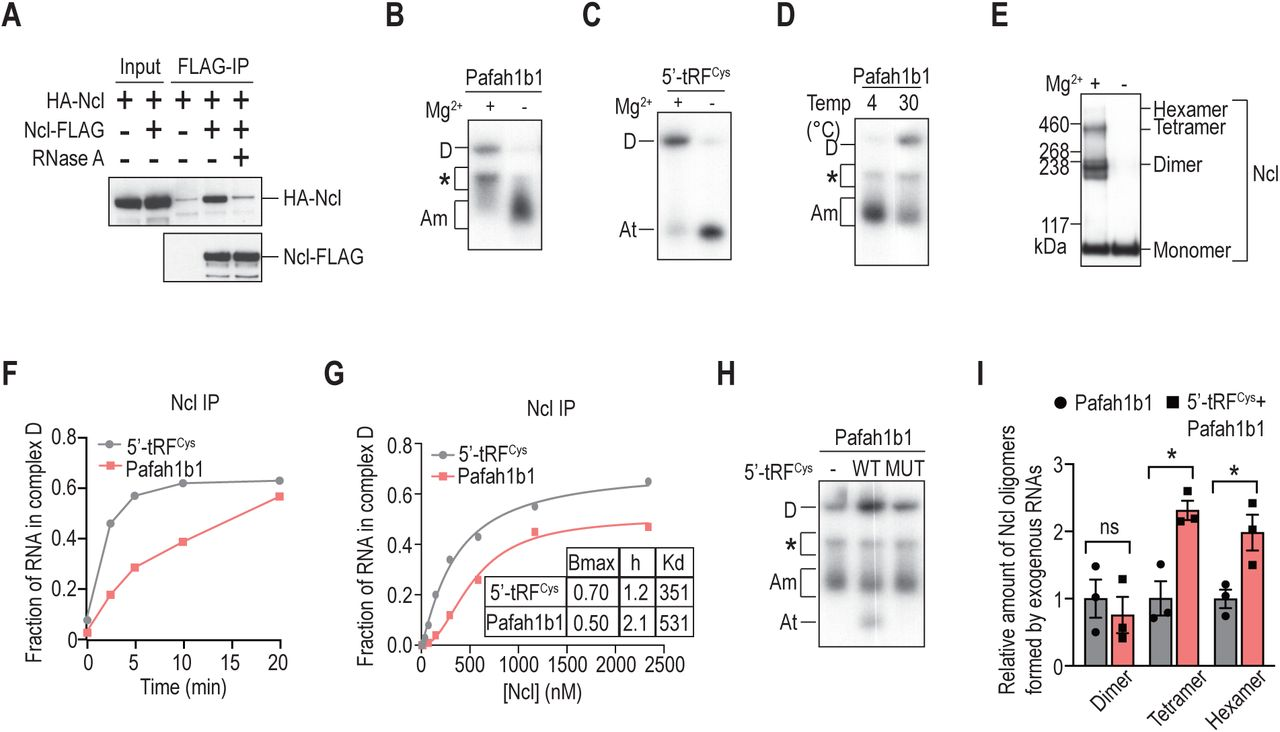 5'-tRF Cys promotes complex D assembly and Nucleolin oligomerization. A, B. Native gel analysis of Nucleolin complexes assembled from Pafah1b1 (A) or 5'-tRF Cys (B) using increasing amounts of Nucleolin protein. C. Quantification of complex D assembly as a function of Nucleolin concentration using purified Nucleolin protein. Bmax, specific maximum binding. h, Hill coefficient. Kd, equilibrium dissociation constant. D. Representative images of western blots of Nucleolin from Nucleolin IP that was pre-treated with different dilutions of micrococcal nuclease to remove endogenous RNAs before complexes were assembled at 30 °C and crosslinked with ethylene glycol bis (succinimidyl succinate). The number of blue dots represent the inferred number of Nucleolin monomers based on the molecular weight. E, F. Kinetics of Nucleolin complexes assembled from Pafah1b1 (E) or 5'-tRF Cys (F) using Nucleolin IP. See also Figure 5F . Asterisk denotes an RNA-protein complex that was detected only with Nucleolin IP but not Nucleolin protein. G, H. Native gel analysis of Nucleolin complexes assembled from Pafah1b1 (G) or 5'-tRF Cys (H) using increasing amount of Nucleolin IP. See also Figure 5G . I. Native gel analysis of Nucleolin complexes assembled using Nucleolin IP from Mthfd1l alone, or together with a wild-type (WT) or Nucleolin binding deficient (MUT) 5'-tRF Cys . Asterisk denotes an RNA-protein complex that was detected only with Nucleolin IP but not Nucleolin protein. J. Representative western blot of Nucleolin using Nucleolin IP incubated with or without Pafah1b1, or with both Pafah1b1 and 5'-tRF Cy at 30 °C before crosslinking with EGS. See also Figure 5I . K. Top, quantification of the protection provided by different forms of Nucleolin from degradation by a prototypical 5'- > 3' exonuclease Terminator after conducting the assembly assay at 4 °C or 30 °C to form monomeric Nucleolin (complex A) or oligomeric Nucleolin (complex D) respectively. Bottom, representative image of d