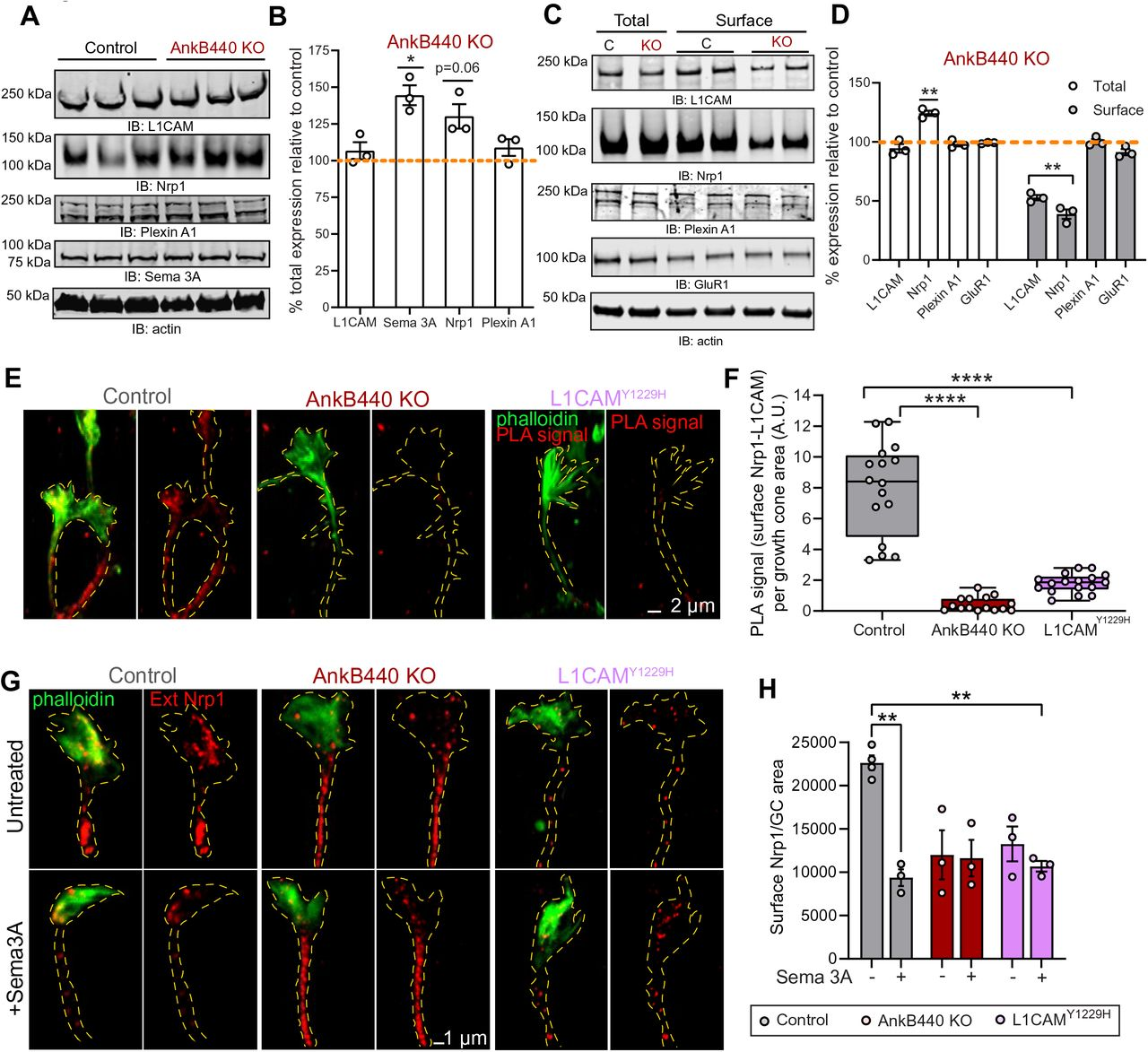 AnkB440 stabilizes the Sema 3A receptor complex L1CAM-Nrp1 at the cell surface of GCs. ( A ) Western blot analysis of the expression of Sema 3A, L1CAM and the Sema 3A receptors Nrp1 and Plexin A1 in the cortex of PND1 control and AnkB440 KO mice. ( B ) Quantification of protein levels normalized to actin in cortical lysates from PND1 mice of indicated genotypes relative to their levels in control brains. Data show mean ± SEM for three biological replicates per genotype. Unpaired t test. *p
