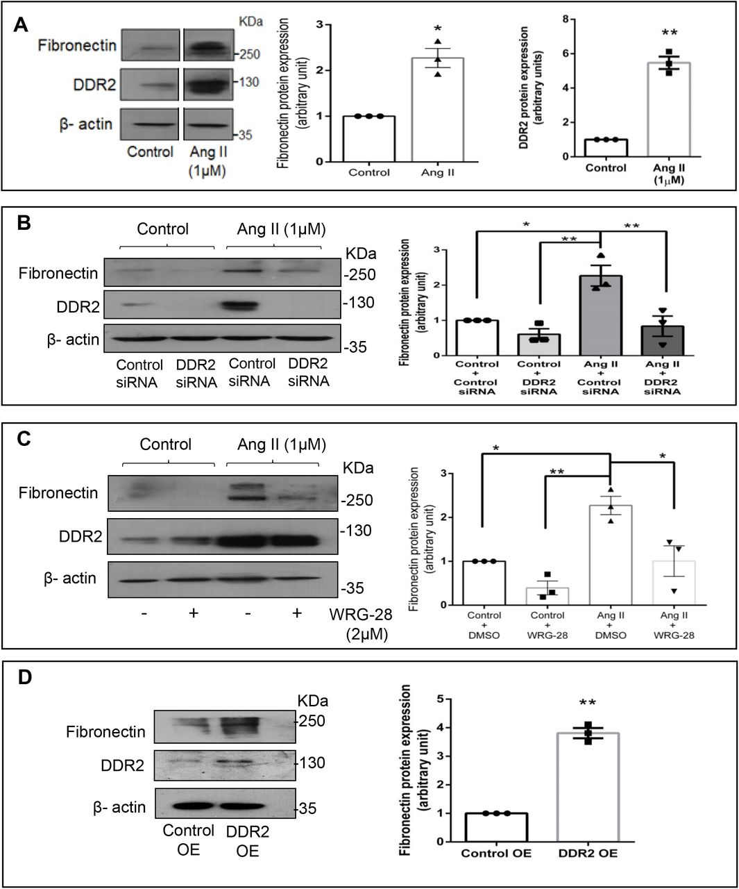DDR2 mediates Ang II-dependent fibronectin expression in cardiac fibroblasts. (A) Sub-confluent quiescent cultures of cardiac fibroblasts were stimulated with Angiotensin II (Ang II) (1μM). Protein was isolated at 12 h of Ang II treatment and subjected to western blot analysis for detection of fibronectin and DDR2, with β-actin as loading control. *p